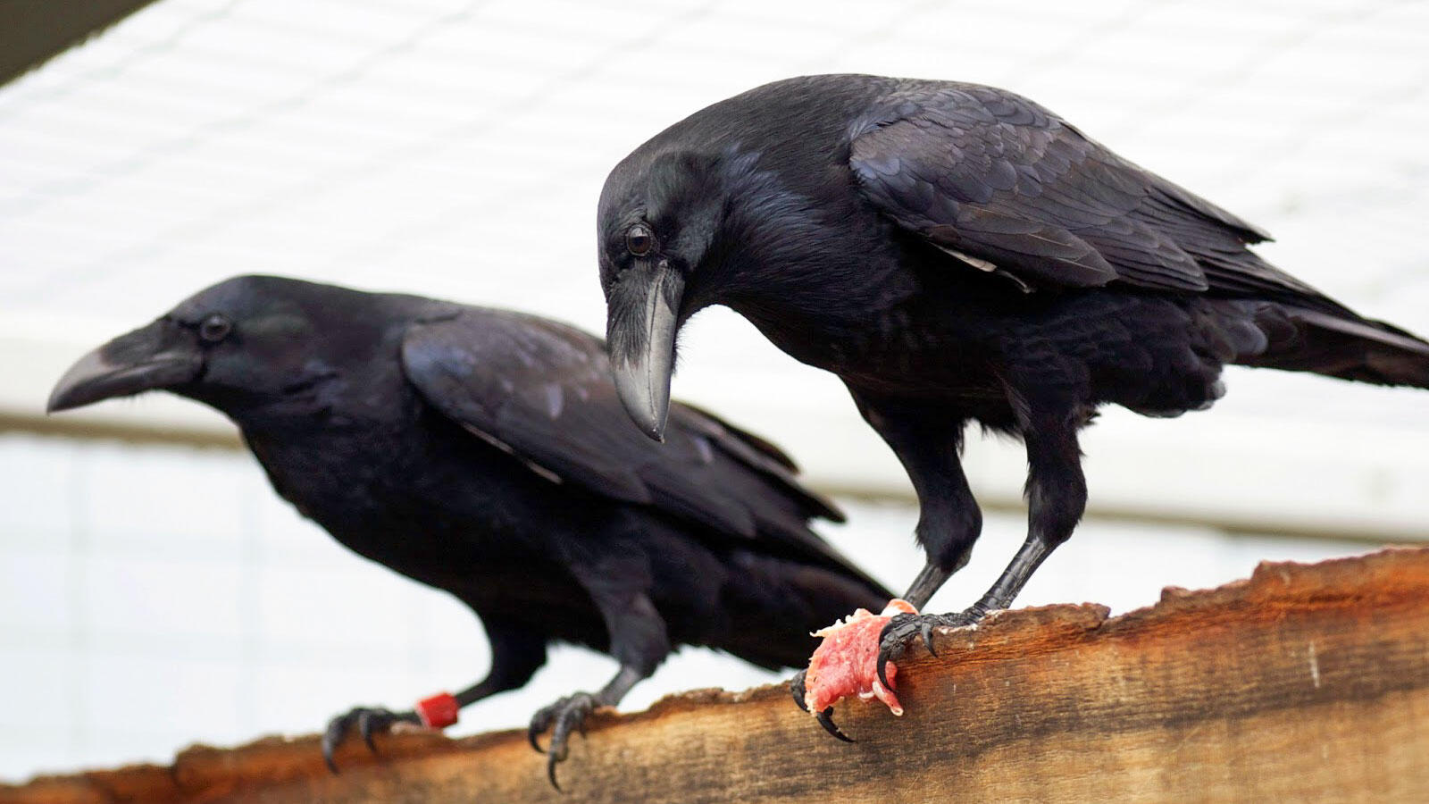 Common Ravens, like Juno and Lillen pictured here, are able to plan for the future, according to a new study. Mathias Osvath