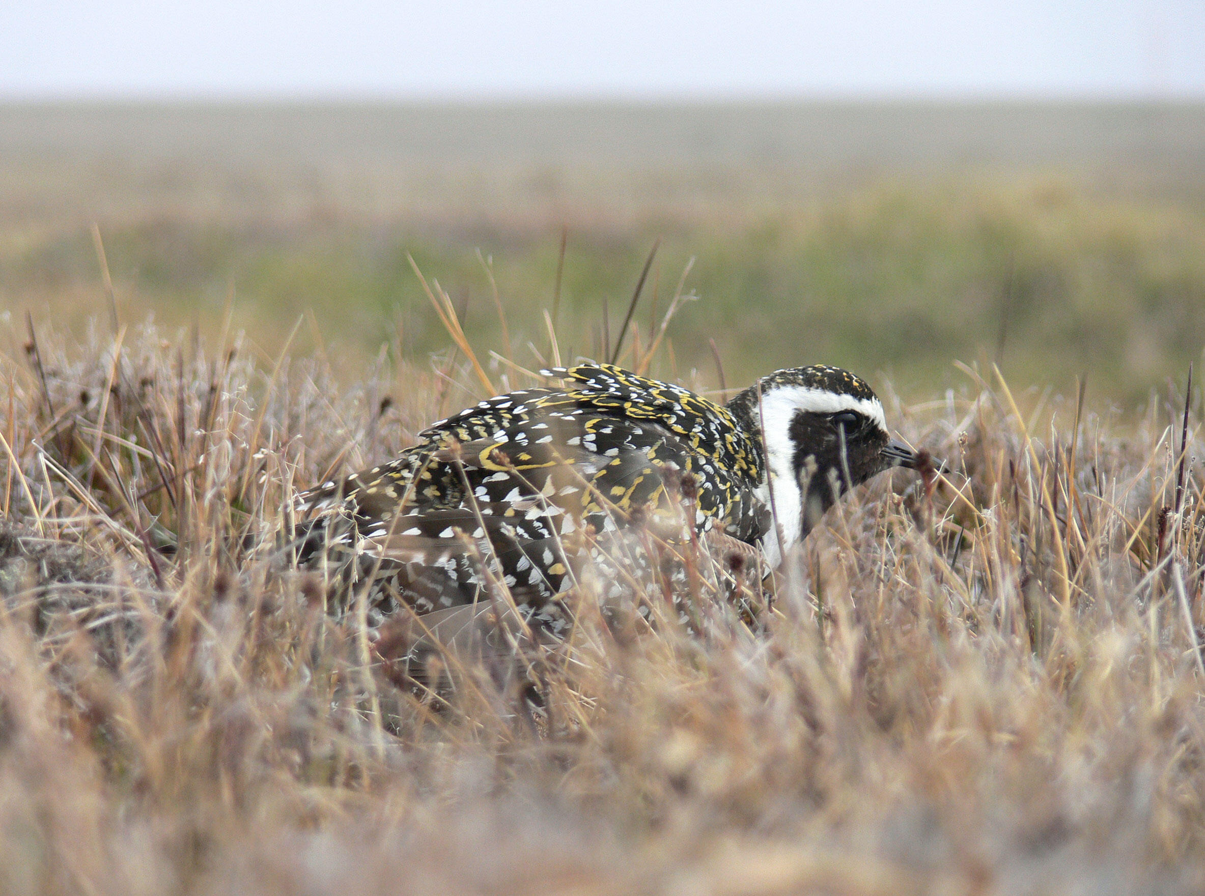 An American Golden-Plover performs a distraction display to deter a potential predator near its nest in Barrow, Alaska. Vojtěch Kubelka
