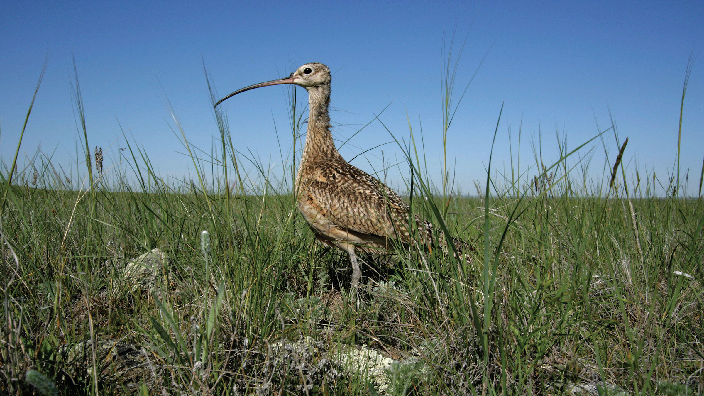 The Long-billed Curlew needs a whole range of prairie habitat to feed, breed, and raise its babies. Ranchers who maintain a mosaic of grasses can help host the climate-endangered shorebirds on their lands. Michael Forsberg