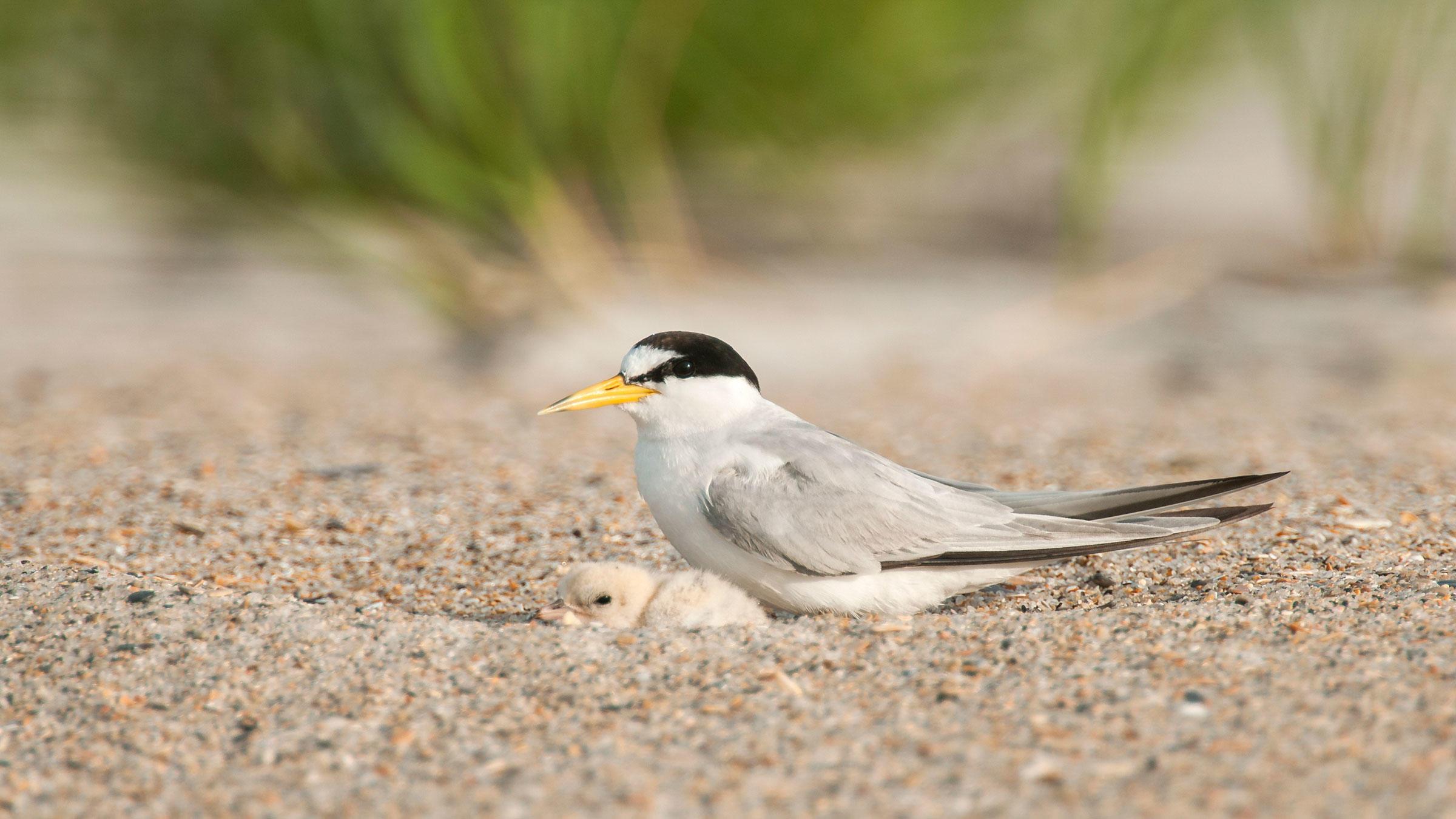 Least Terns. Walker Golder