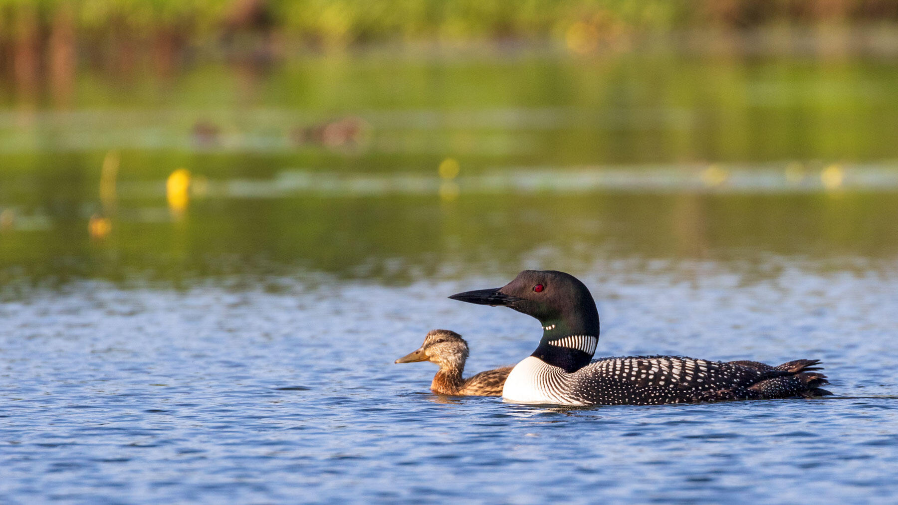 A Common Loon and its mate have taken a lone Mallard duckling under their wing in Wisconsin. Scientists tracking the non-traditional family have uncovered some novel behaviors during the young bird's development. Linda Grenzer