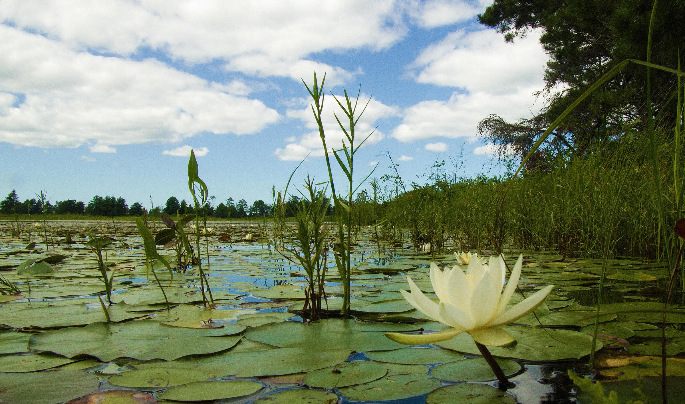 White-water Lilies, Seney National Wildlife Refuge, Michigan. Seney Natural History Association