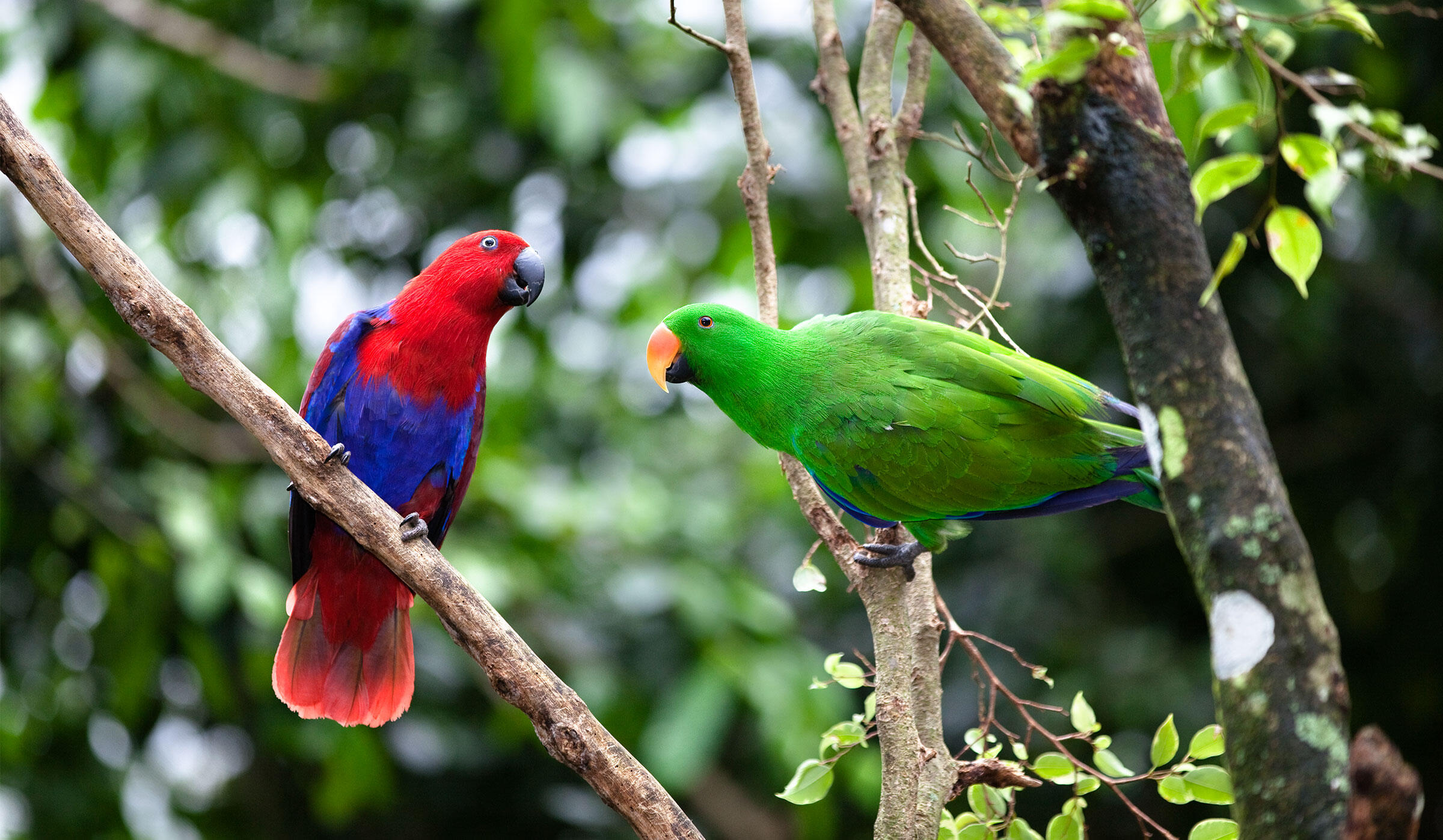 Can you guess which Eclectus Parrot is female and which is male? Scroll down for the big reveal. Konrad Wothe/Minden Pictures