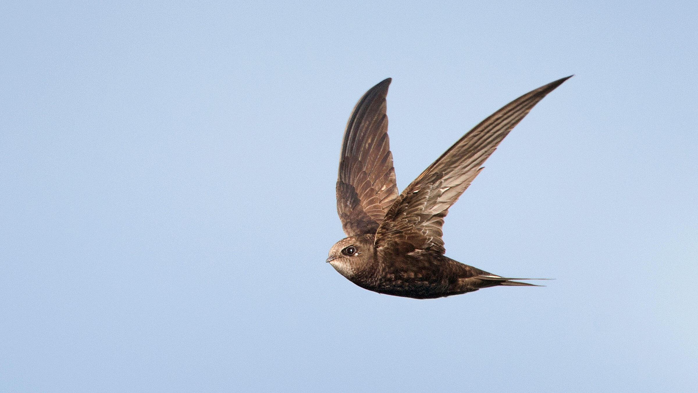 Common Swift. Marcel van Kammen/Minden Pictures
