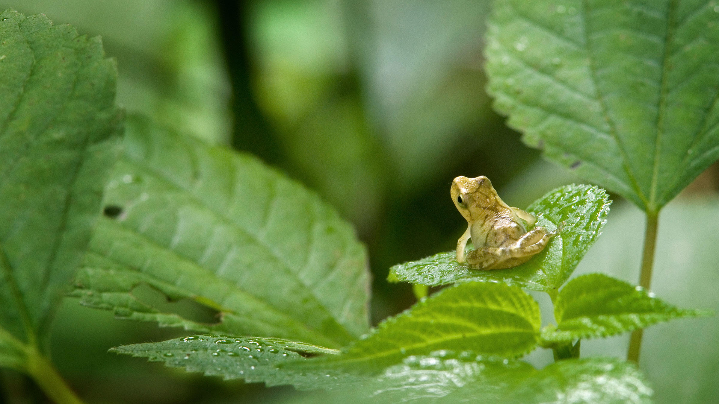 Spring peepers fill the air around ponds with their pulsing, Twilight Zone-like songs. Caution: You might want to bring some protective gear for your ears when checking these guys out. Clay Bolt/Minden Pictures