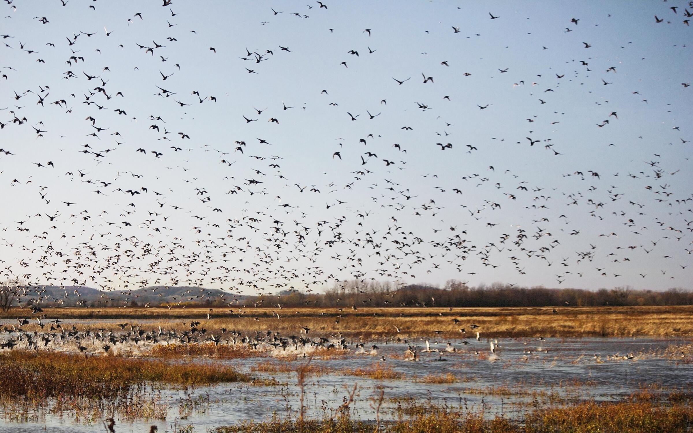 Fall migration at Clarence Cannon National Wildlife Refuge, Missouri. USFWS