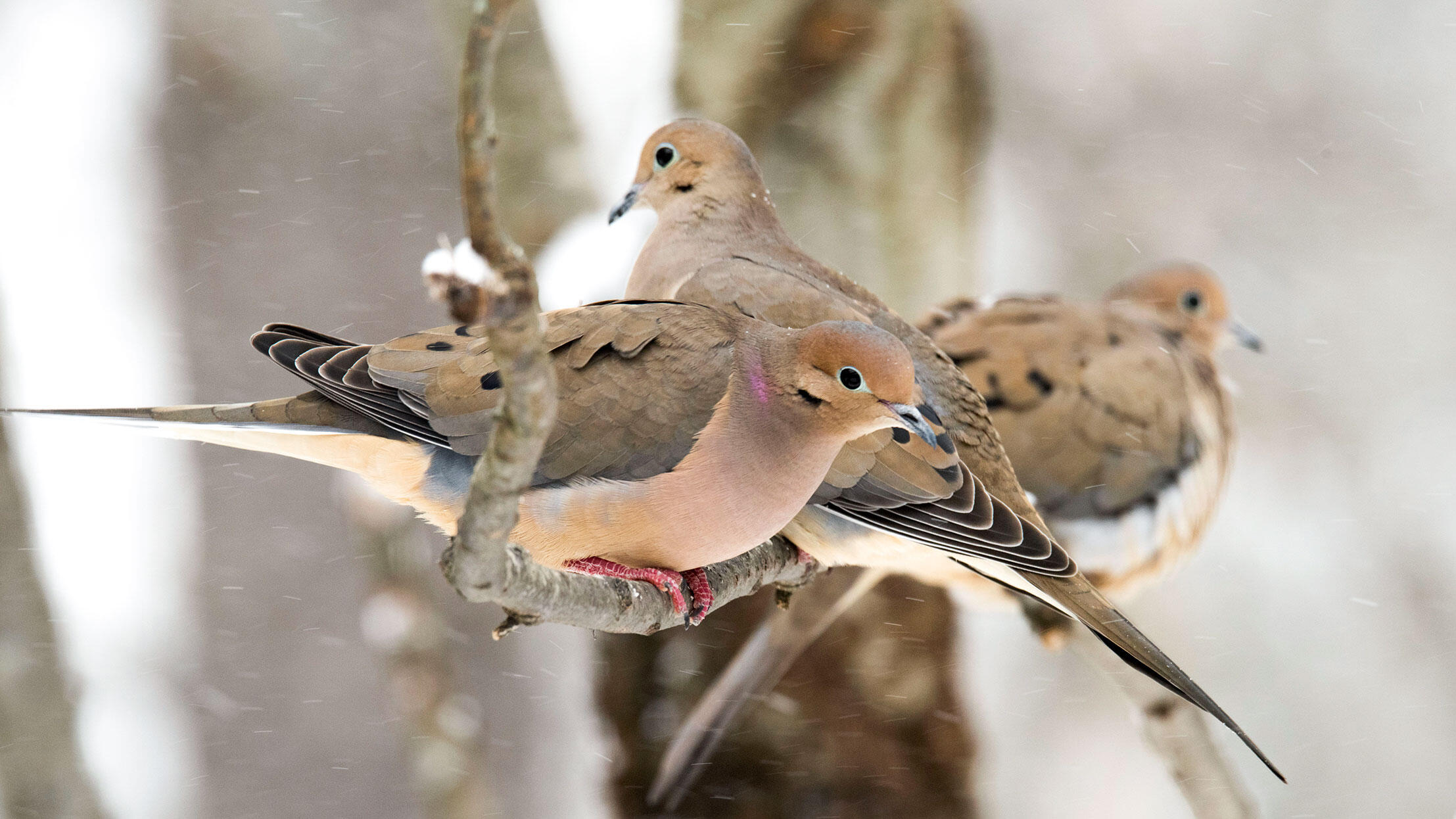 You can count on Mourning Doves to show up during a North American CBC. Betsy Bass/Great Backyard Bird Count