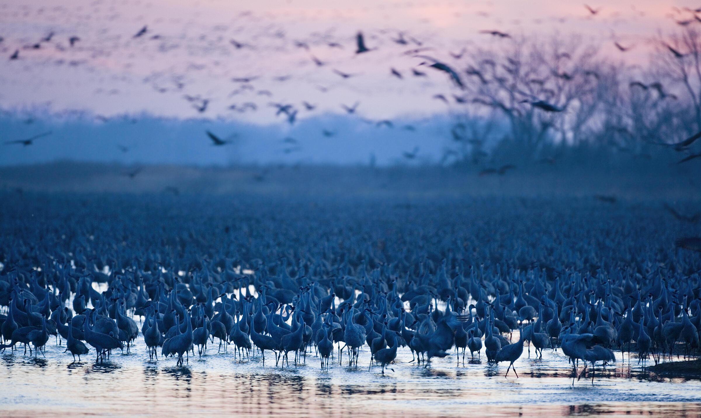 Sandhill Cranes on the Platte River near Grand Island, Nebraska. Jim Lo Scalzo/Aurora Photos