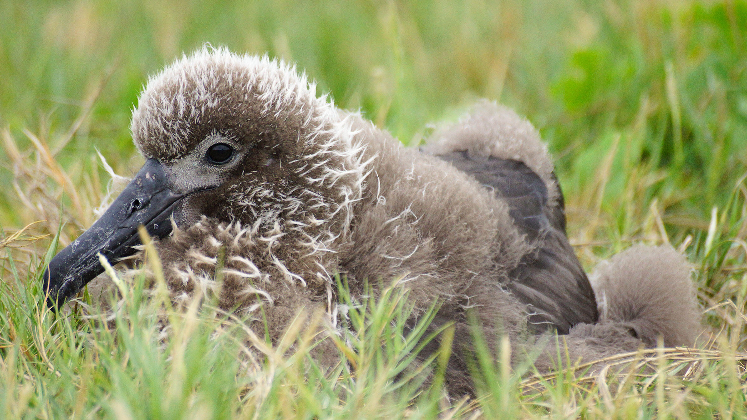 Nine, one of the founding members of a new Laysan Albatross colony on the main Hawaiian Islands, roosts in the grass, decked out in intermediate plumage—half adult flight feathers, half gray down. Rachel Fisher