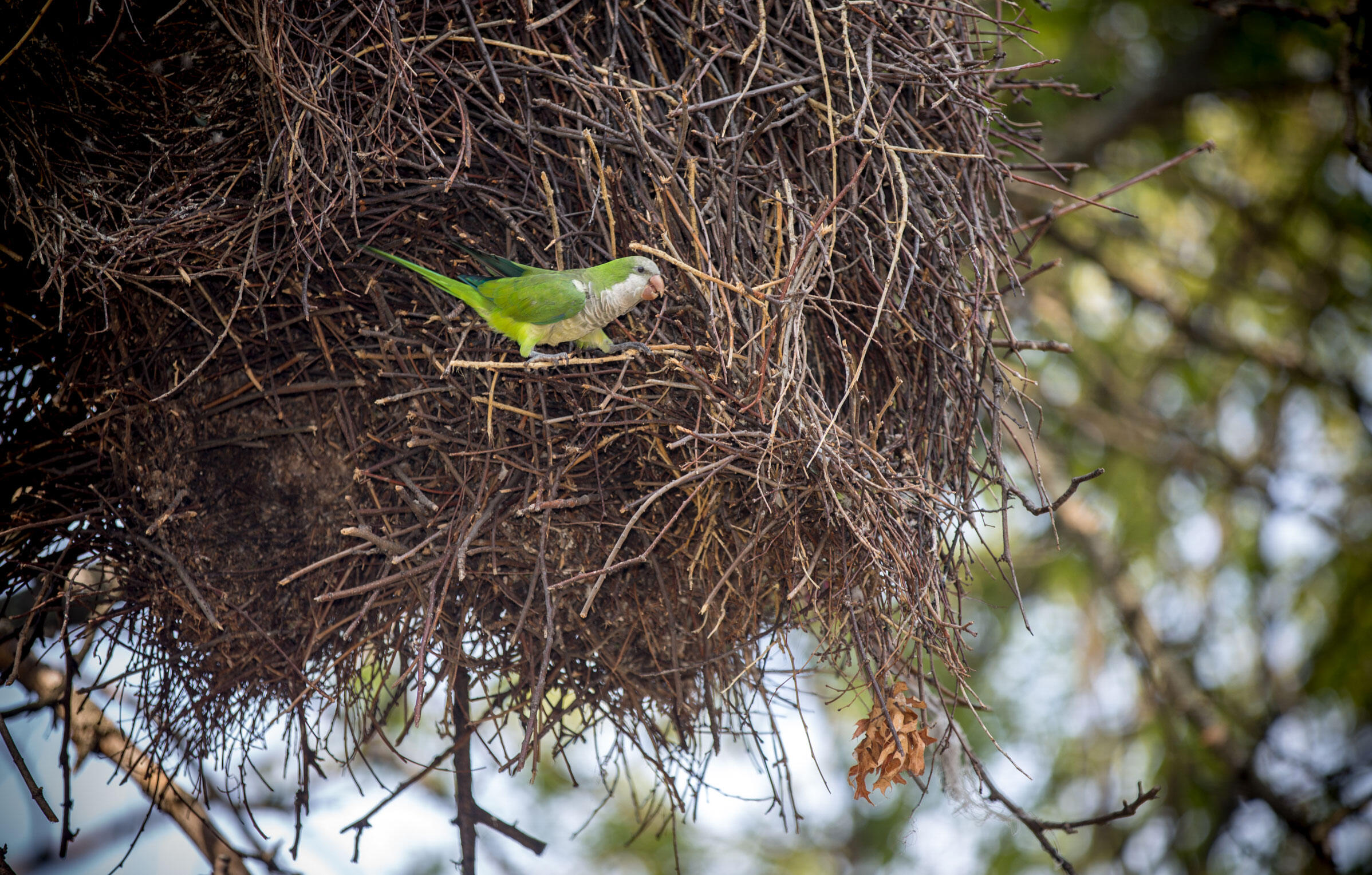 Monk Parakeets, like this Brooklyn resident, construct bulky, communal nests from branches, often lining internal tunnels with feathers. Inside they raise young, sleep at night, and stay warm even through frigid New York winters. Camilla Cerea/Audubon