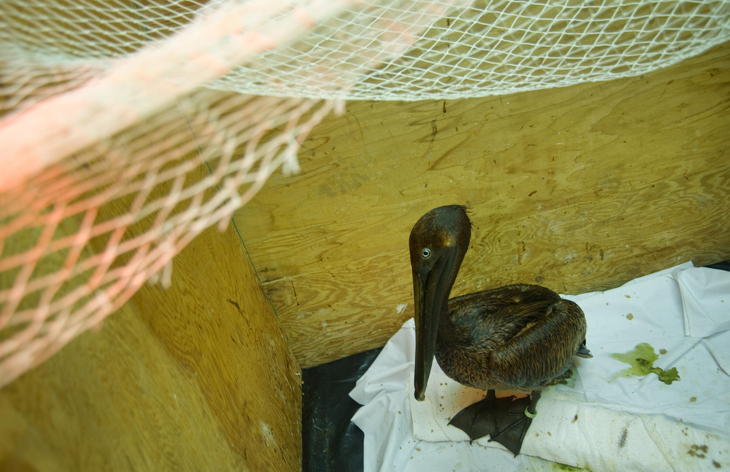 A Brown Pelican waits to be cleaned after the Deepwater Horizon spill in 2010. Kim Hubbard