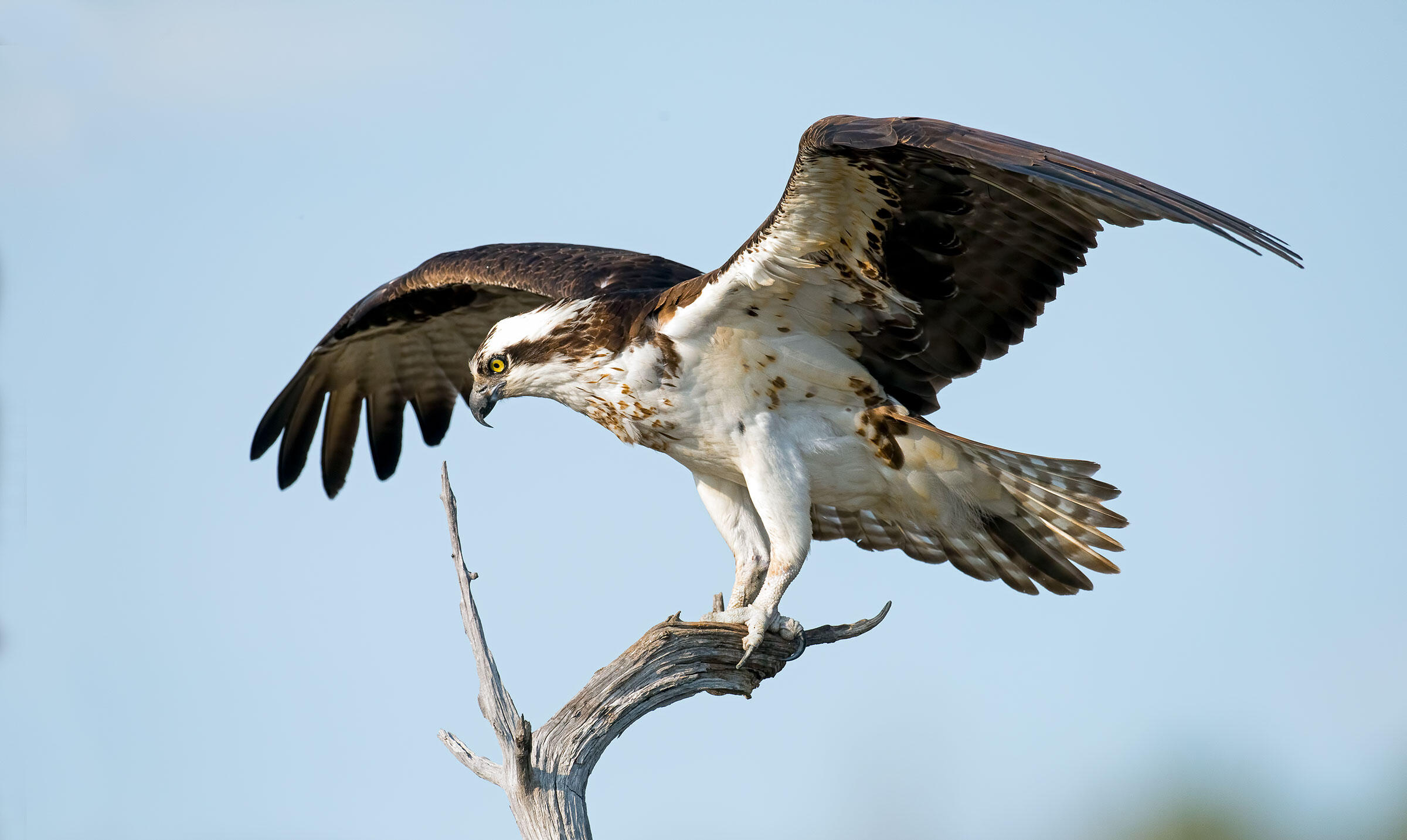 Forty years ago the Osprey was considered an endangered species in New Jersey. Today, thanks to better environmental regulations and human-made nesting structures, it turns up often on coastal birding lists. Brian Kushner