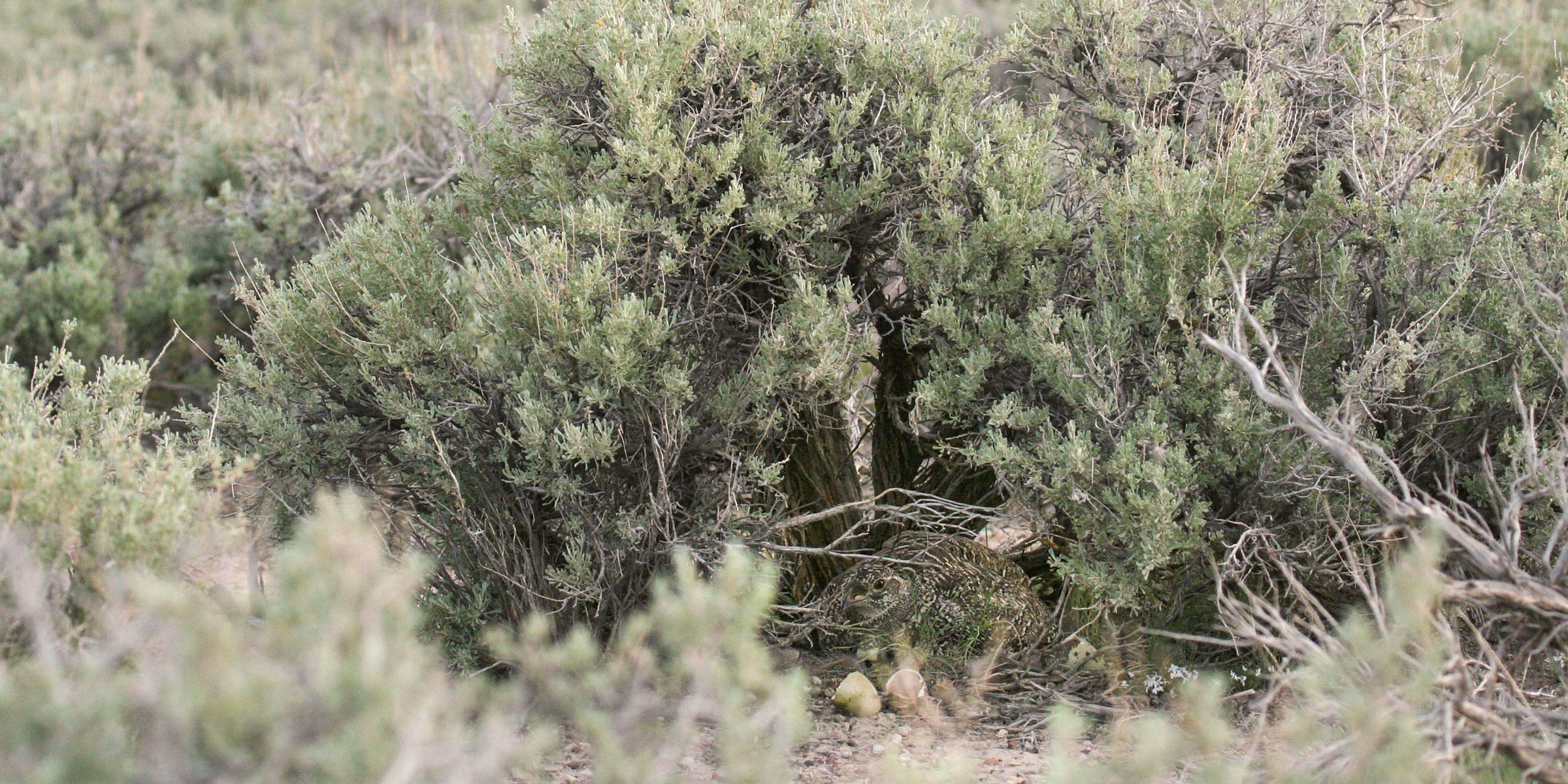 A Greater Sage-Grouse nesting under a Big Sagebrush plant is well camouflaged. Dr. Erik J. Blomberg