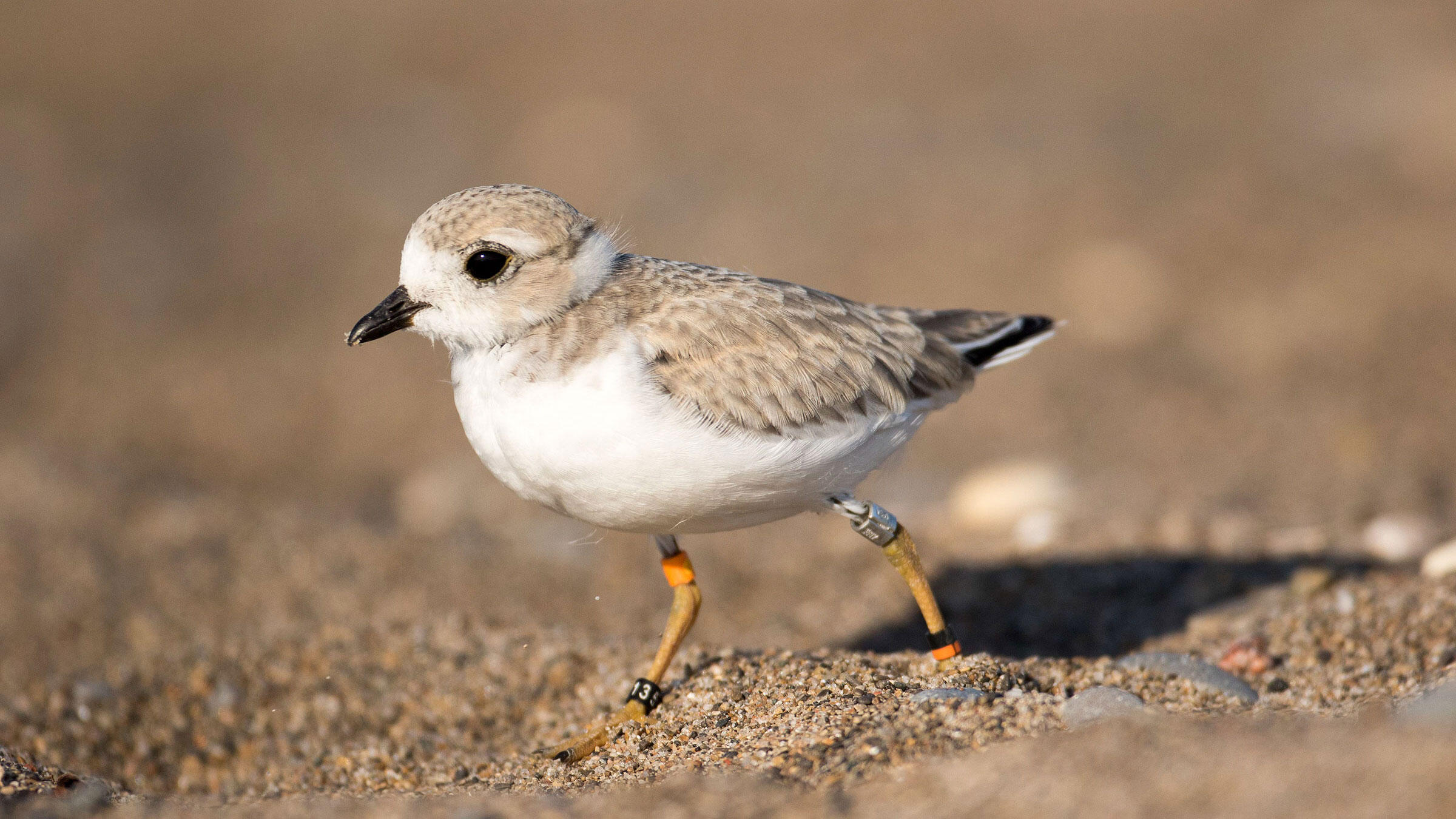 One of Toronto's own Piping Plover fledglings shows off its leg bands, which were strapped on when the chicks were nine days old. These bands identify each chick as an individual and allow scientists to follow its entire life history. Mark Peck