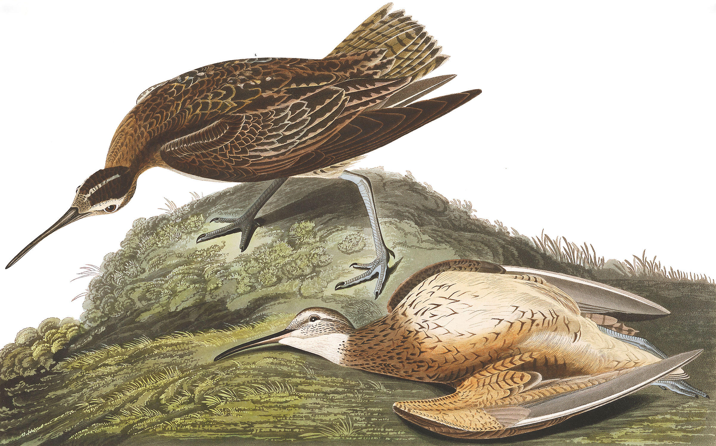 Millions of Eskimo Curlews once descended on the Great Plains during their northward migration each year. Now most of those grasslands are cornfields—and curlew populations declined accordingly. Illustration: John James Audubon