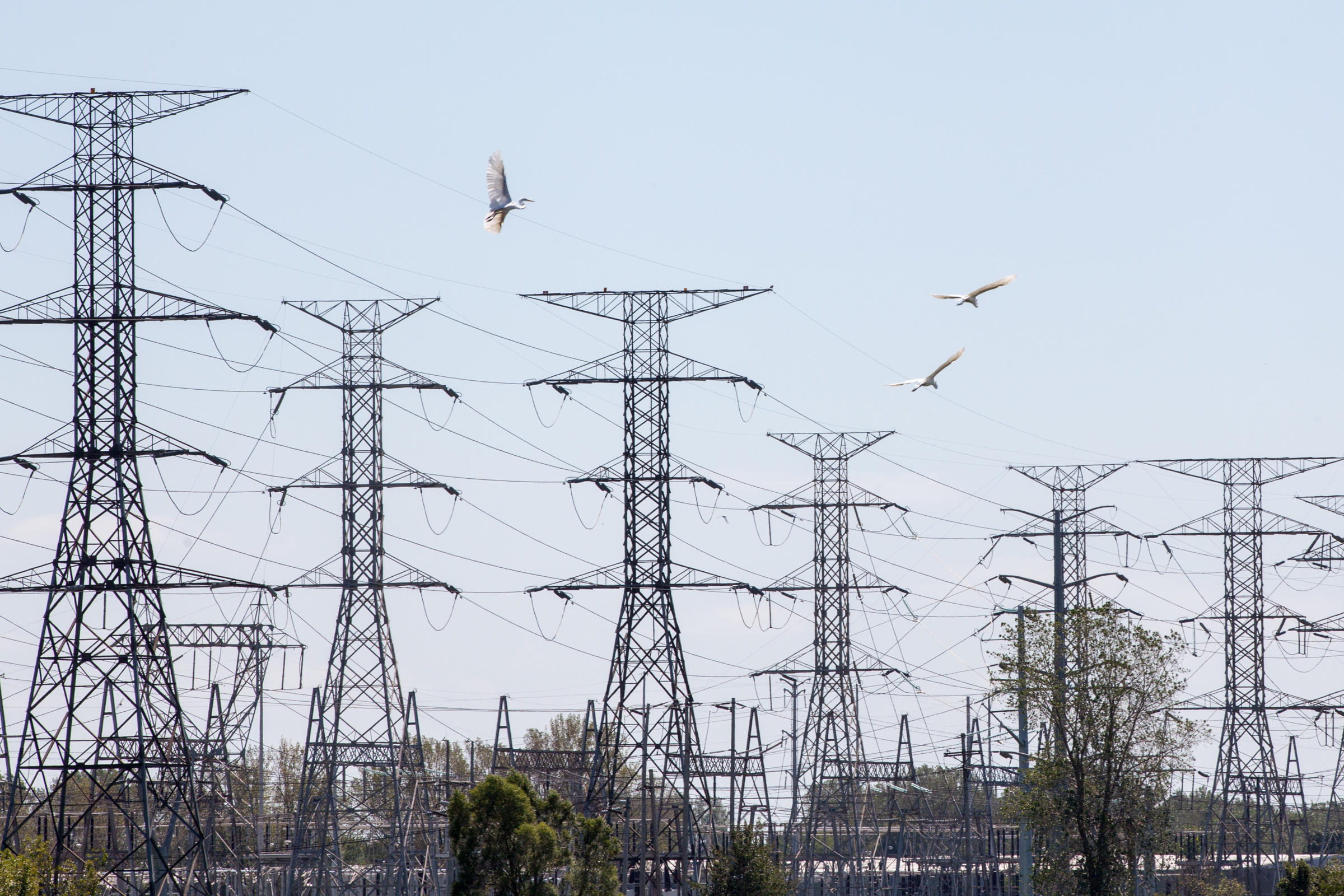 Great Egrets fly near transmission lines. Energy projects such as transmission lines and solar farms should be located in areas that will minimize harm to birds and other wildlife. Camilla Cerea/Audubon