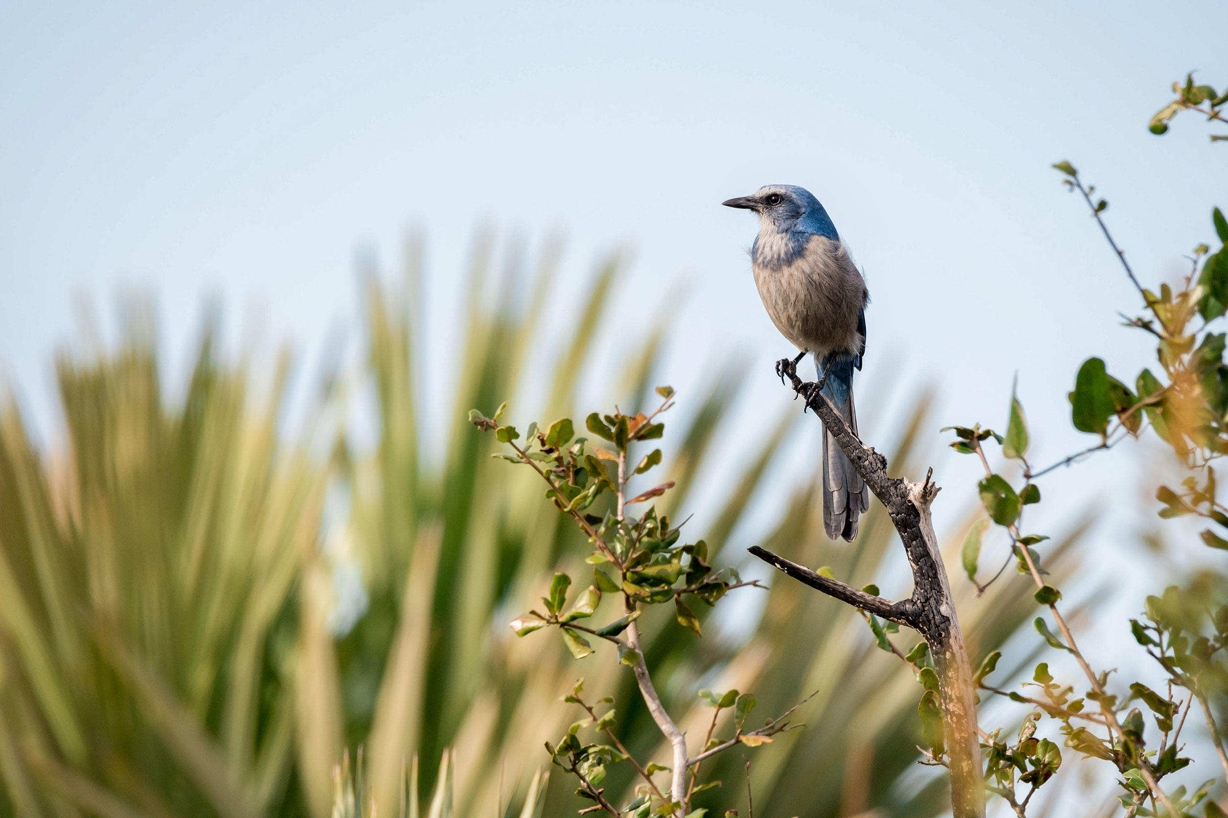 Florida Scrub-Jay in Merritt Island National Wildlife Refuge, Florida. Puffin's Pictures/Alamy