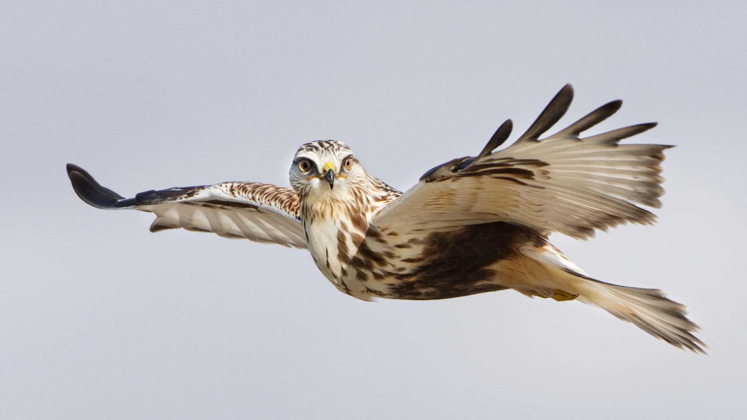 Rough-legged Hawk. Ron Dudley