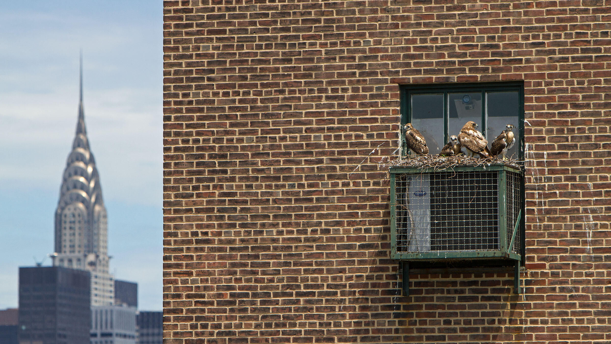 The number of known Red-tailed Hawk nests in Manhattan has more than doubled in the past six years. The birds usually stick to trees, but will sometimes lay claim to A/C units, fire escapes, and balconies. Francois Portmann