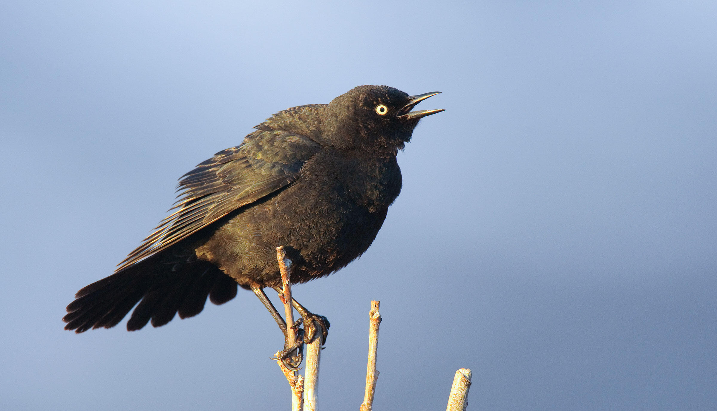 In sun, the male Rusty Blackbird looks browner than usual. But its namesake song remains the same. Gerrit Vyn/Minden Pictures