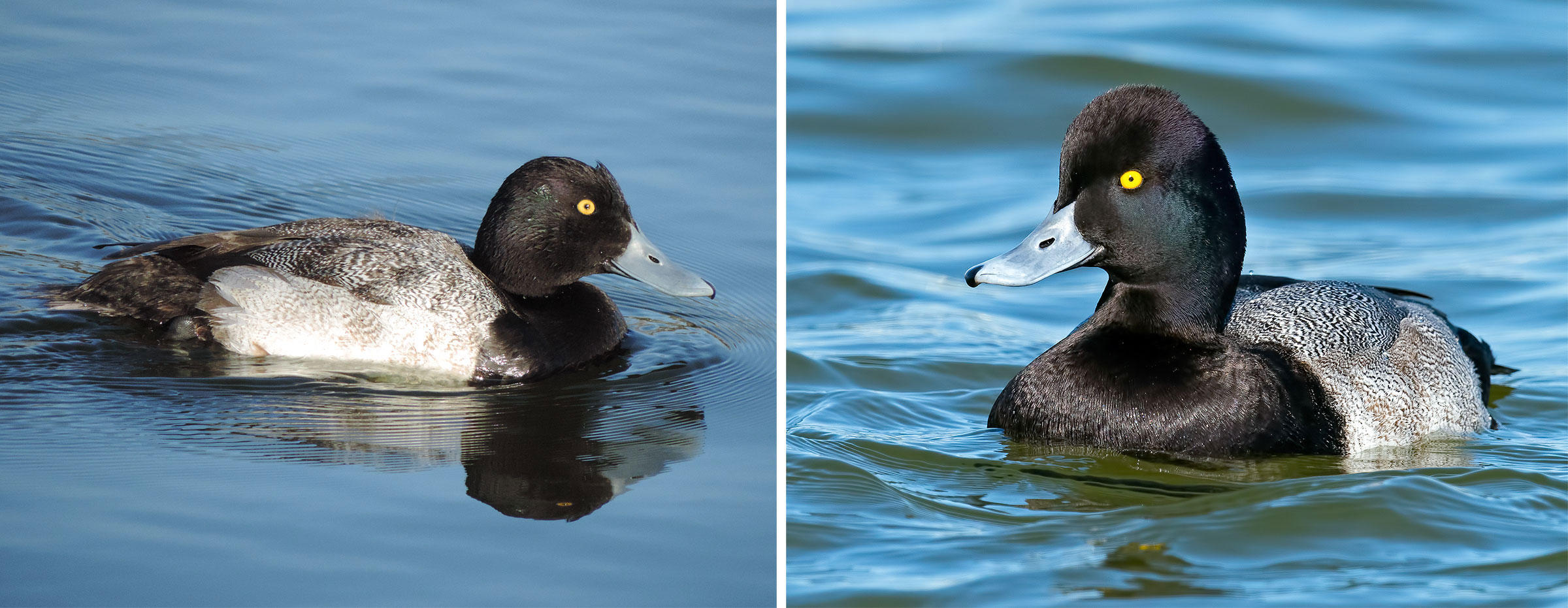 From left to right: Greater Scaup and Lesser Scaup, two of the saltiest, most confusing ducks out there. Photos: Janet Covell/Great Backyard Bird Count; Brian Kushner