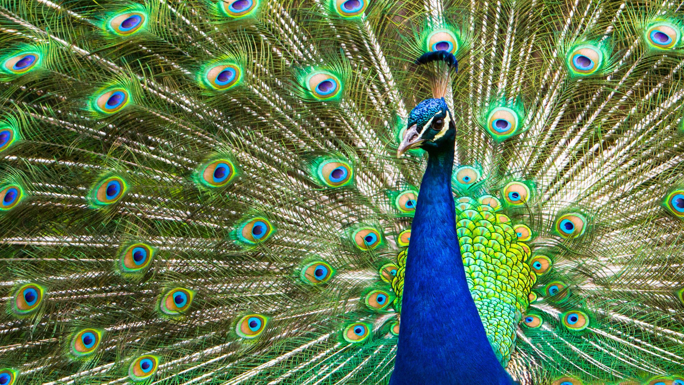 Peafowl. Jason Mrachina/Flickr Creative Commons