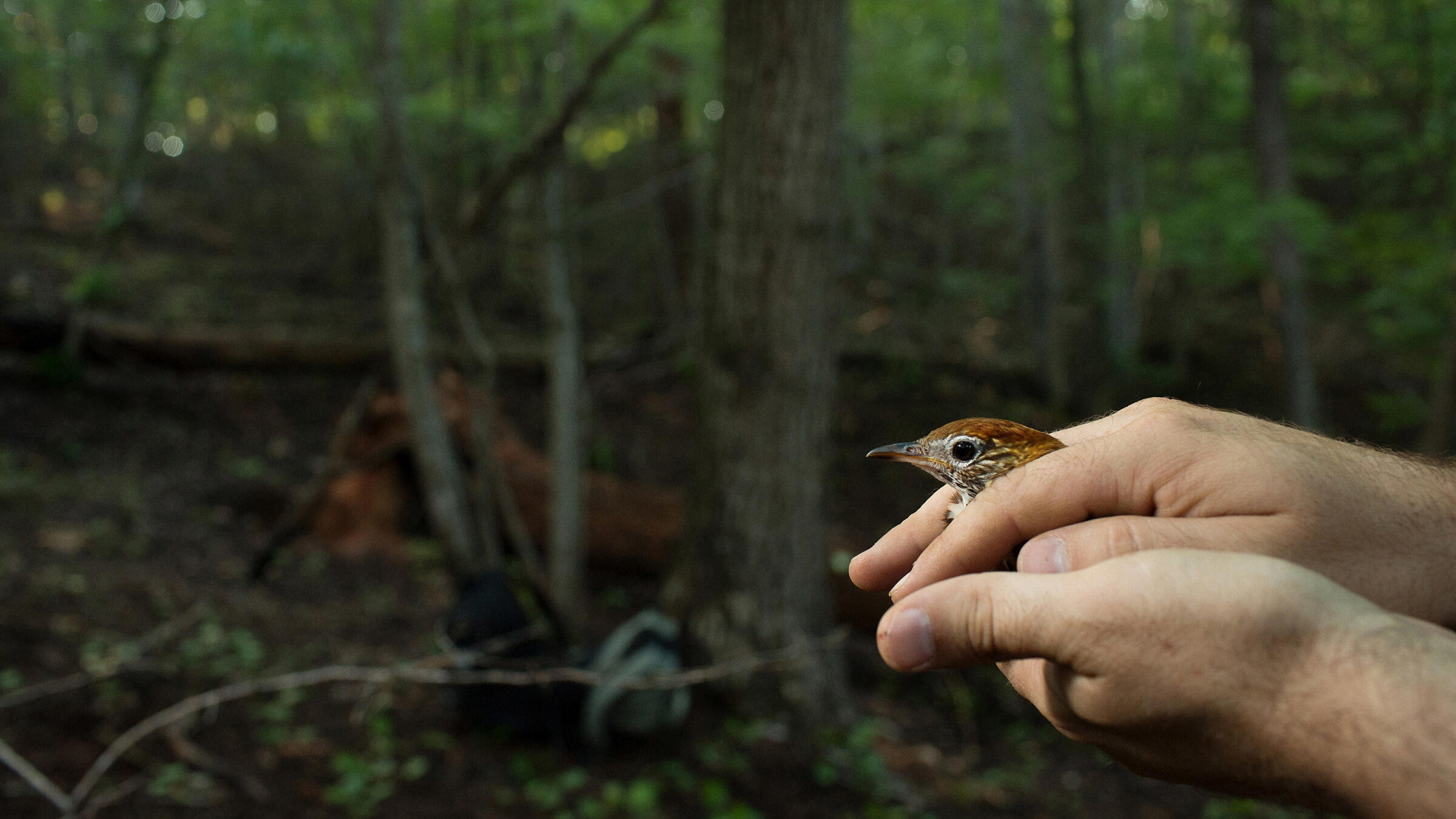 Tim Guida, a researcher from Smithsonian Migratory Bird Center, holds a Wood Thrush in his hands at Pilot Mountain in Pinnacle, N.C. Justin Cook