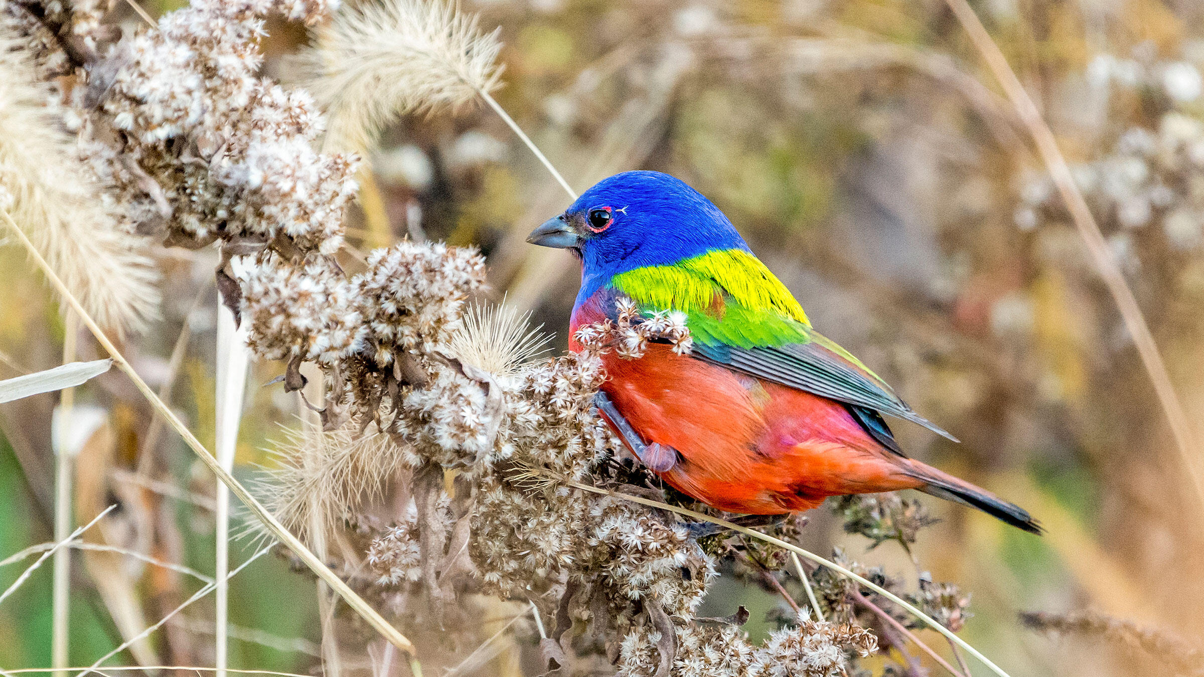 A rare male Painted Bunting hangs out in Prospect Park, Brooklyn. Chun Zhou