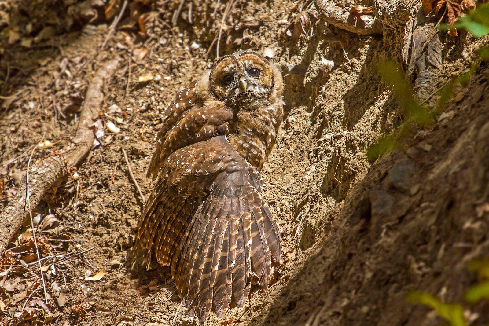 California Spotted Owl. Chris Trent