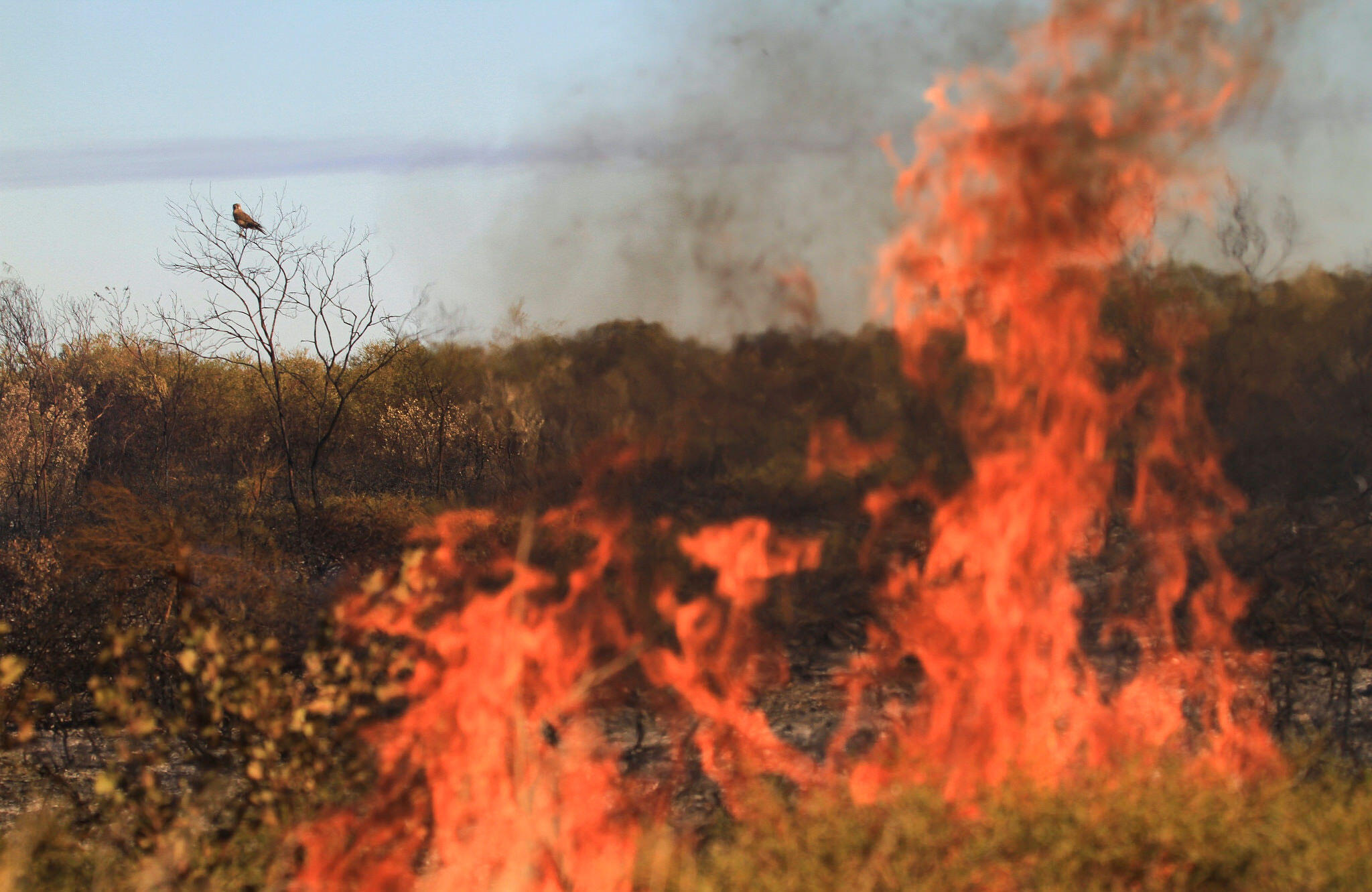 A Brown Falcon (probably—it's a little hard to tell in this photo, so if you think it's something else, please tell us in the comments) perches near a bush fire in the Tanami in Australia. David O'Connor