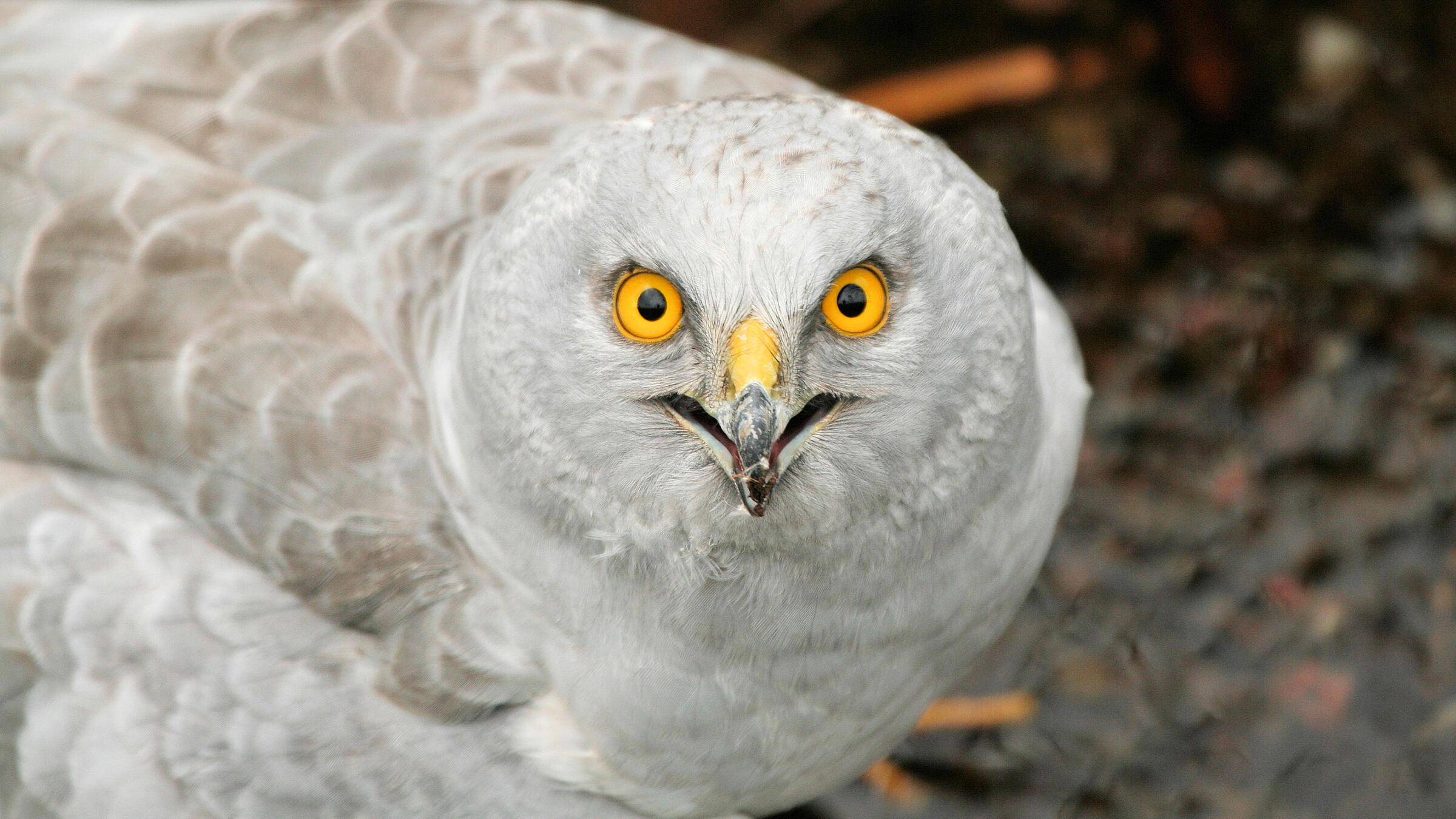 A Hen Harrier on Scotland's Isle of Mull. Tony Yeomans