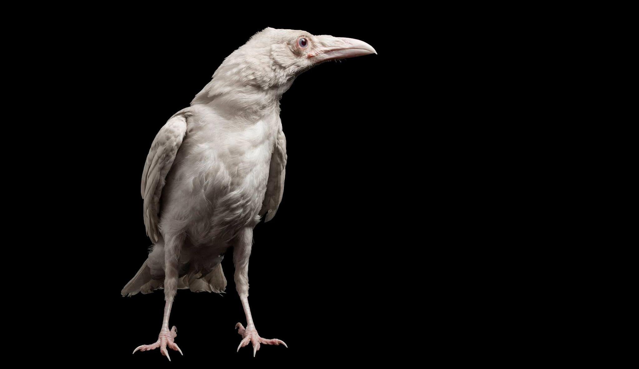 Pearl, the albino Common Raven. Devlin Gandy