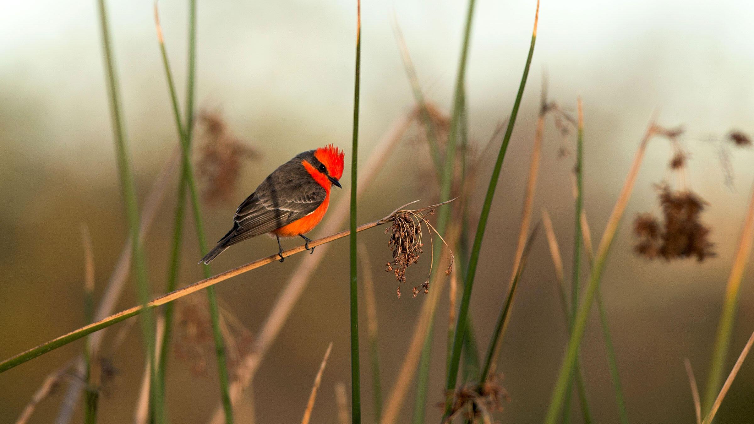 Vermilion Flycatchers and other red birds have a secret hidden within their genetic makeup. Sandrine Biziaux-Scherson/Audubon Photography Awards
