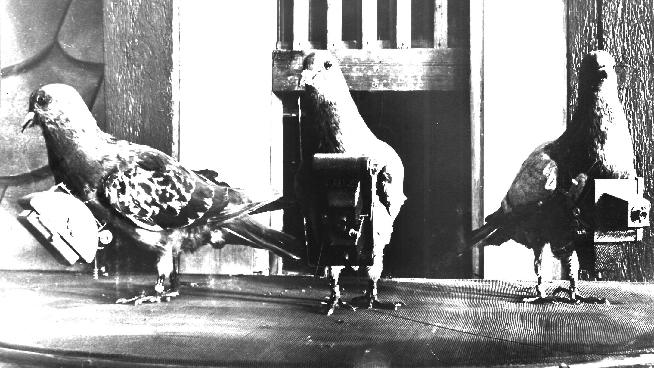 During World War II, the U.S. Army trained pigeons to assist in various intelligence-gathering missions. In total, 32 racing pigeons received Dickin Medals—the animal-equivalent of a Victoria Cross—for their efforts. AR/BNPS
