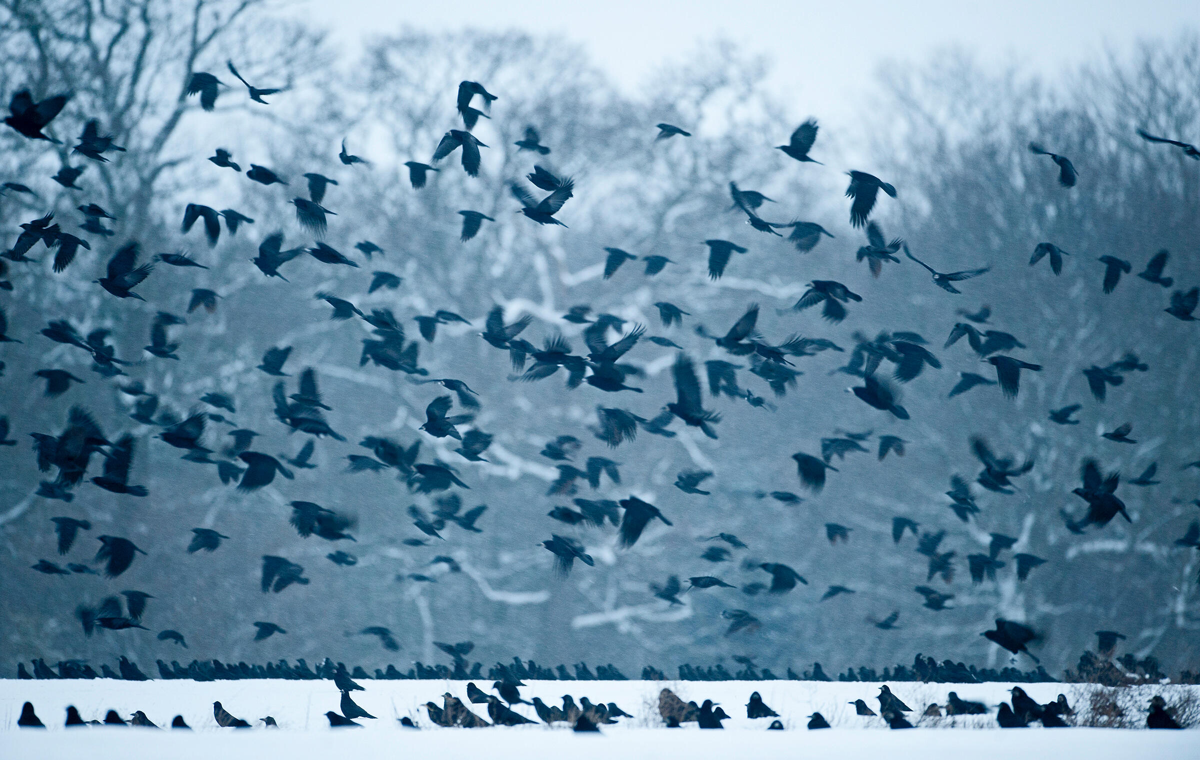 A group—not a murder— of Carrion Crows (and Rooks) in Norfolk, England. David Tipling/Alamy