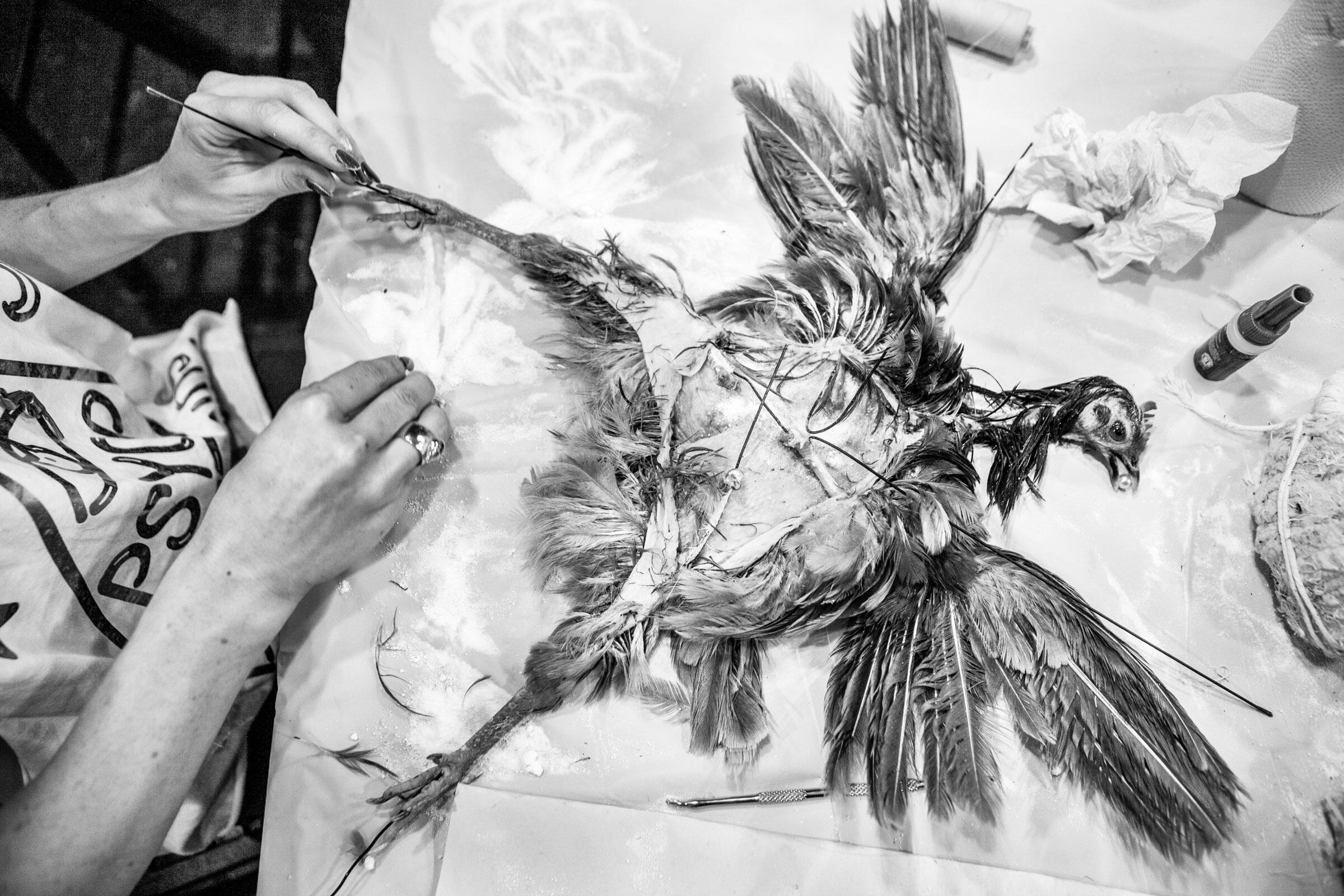 Just another day in taxidermy class: With all its flesh, fat, and muscle removed, this fancy chicken is ready to be mounted. Camilla Cerea/Audubon