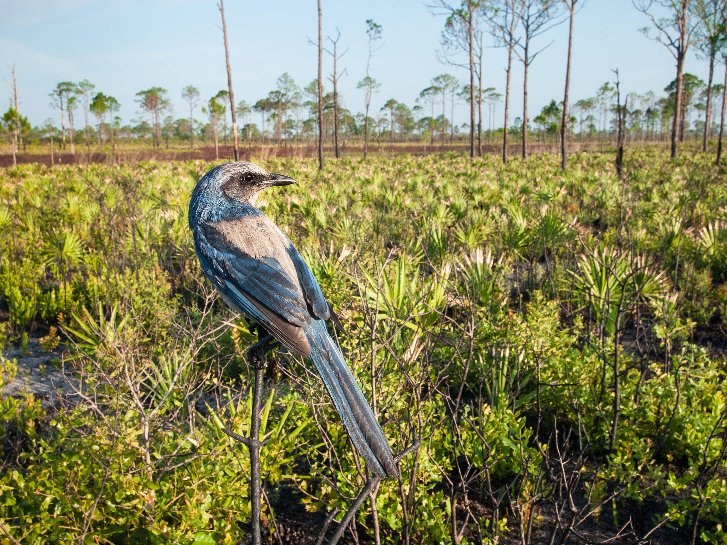 Florida Scrub-Jays prefer low and open scrub habitats that are maintained by frequent fire. But these limited landscapes are becoming harder to come by, thanks to climate change. Reed Bowman