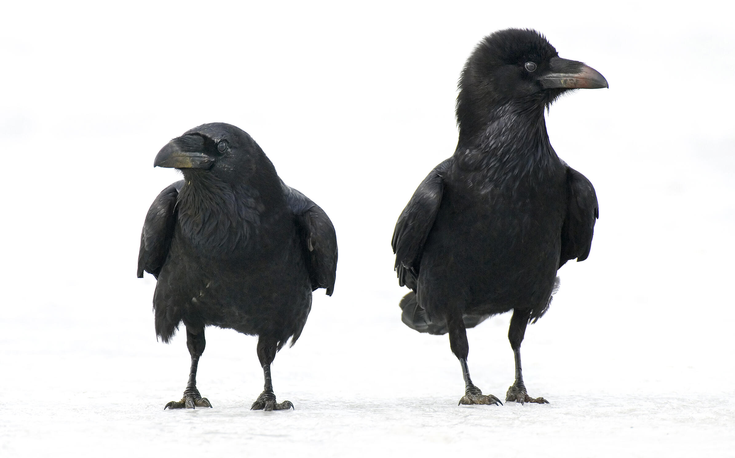 Common Ravens have intricate social lives that include rankings and cooperative relationships. Willi Rolfes/NiS/Corbis