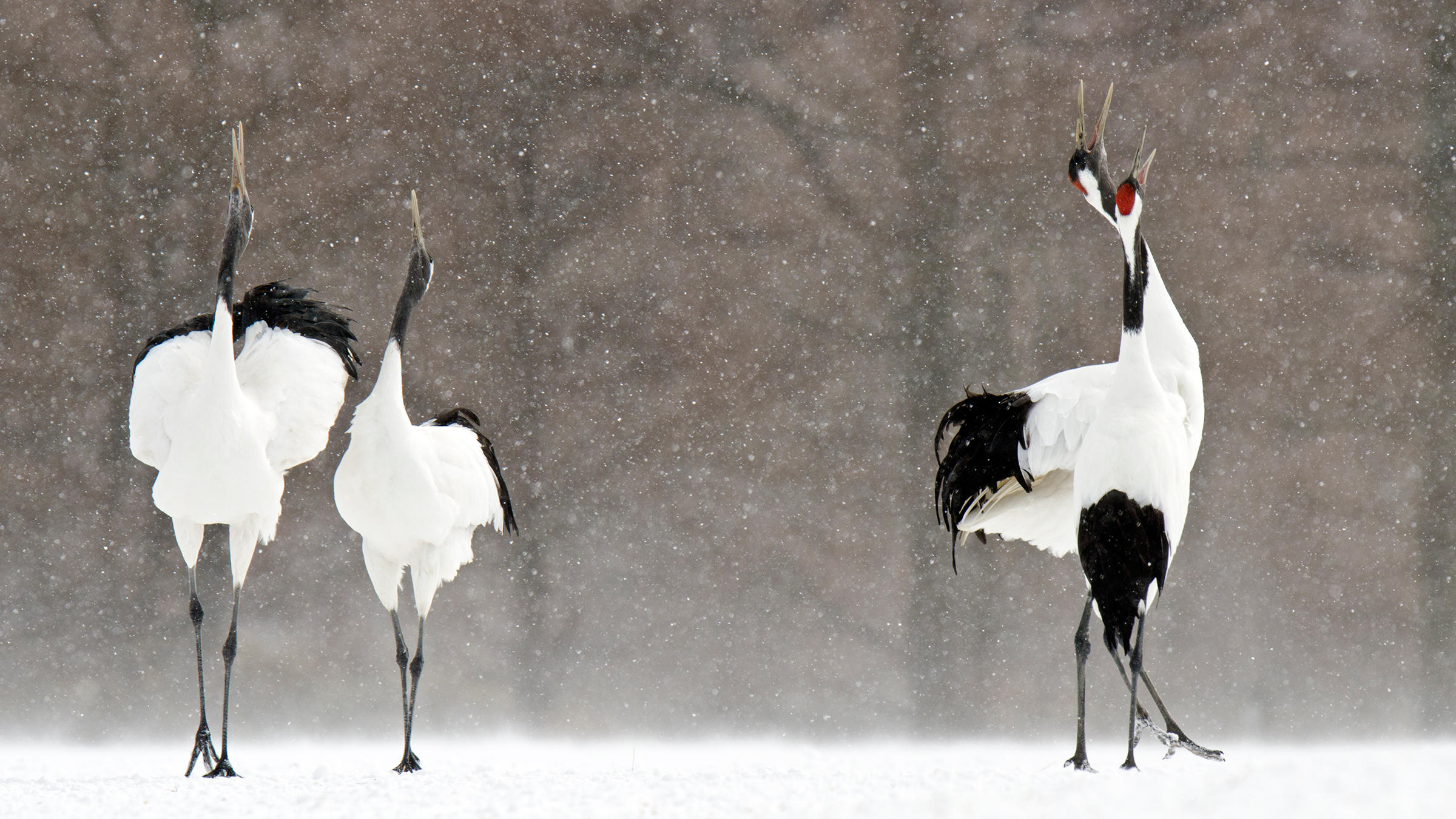 Due to drought and development, Red-crowned Cranes are having trouble breeding in their native wetlands in Asia. The drought is believed to be a result of climate change. David Courtenay/Audubon Photography Awards