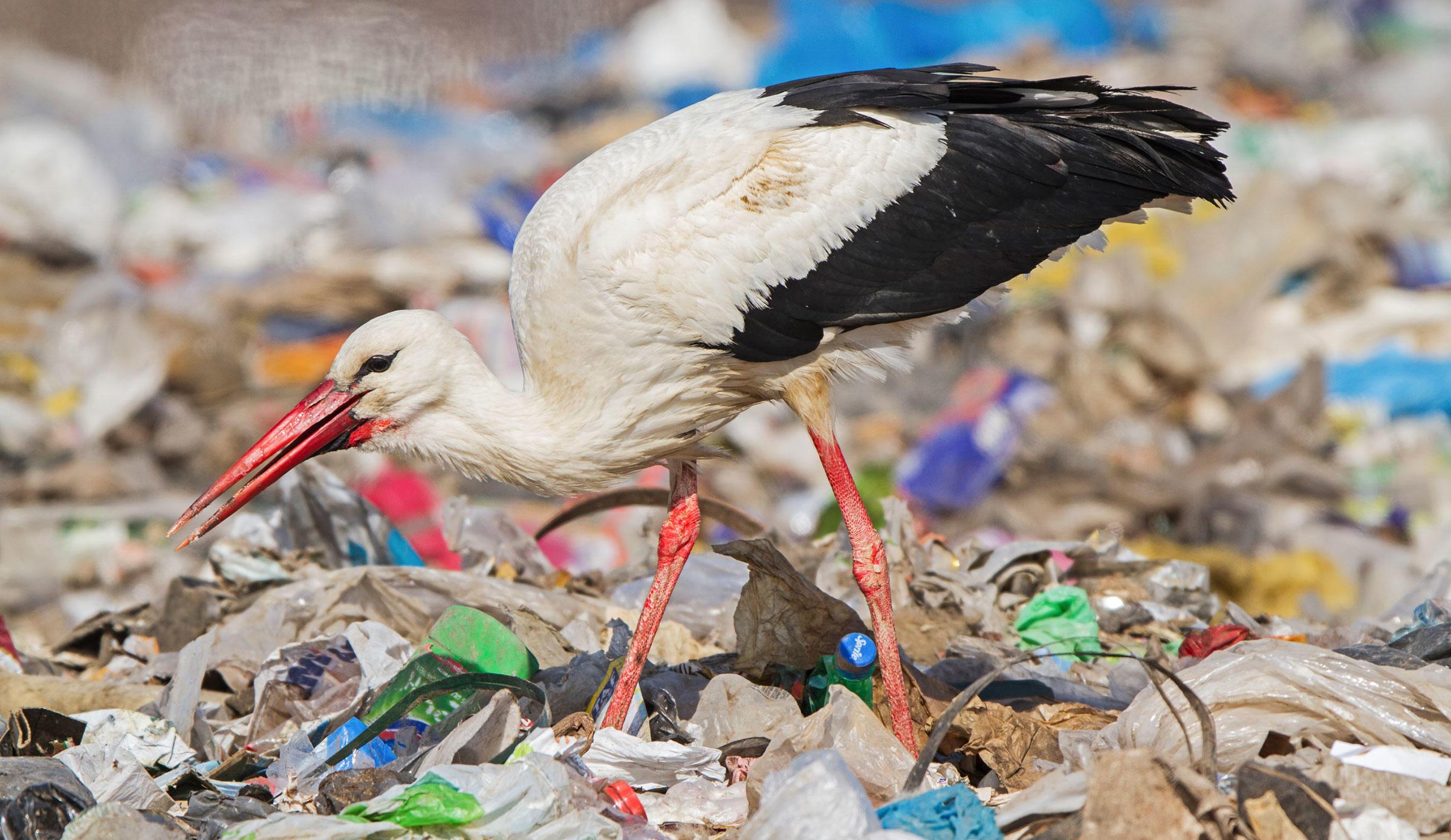 White Stork Boris Belchev/Dreamstime