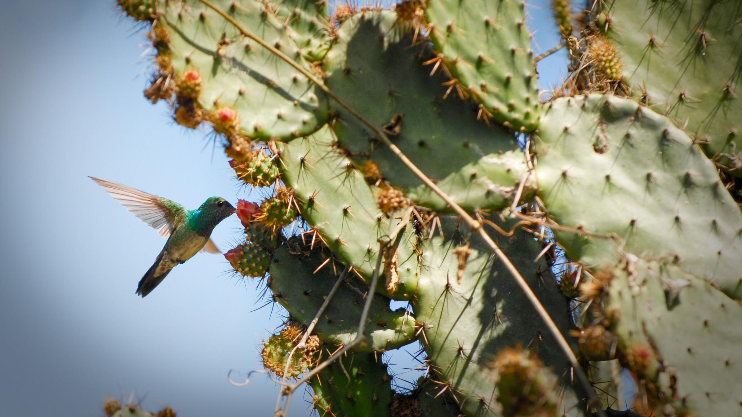 Honduran Emerald hummingbird. Robert Hyman