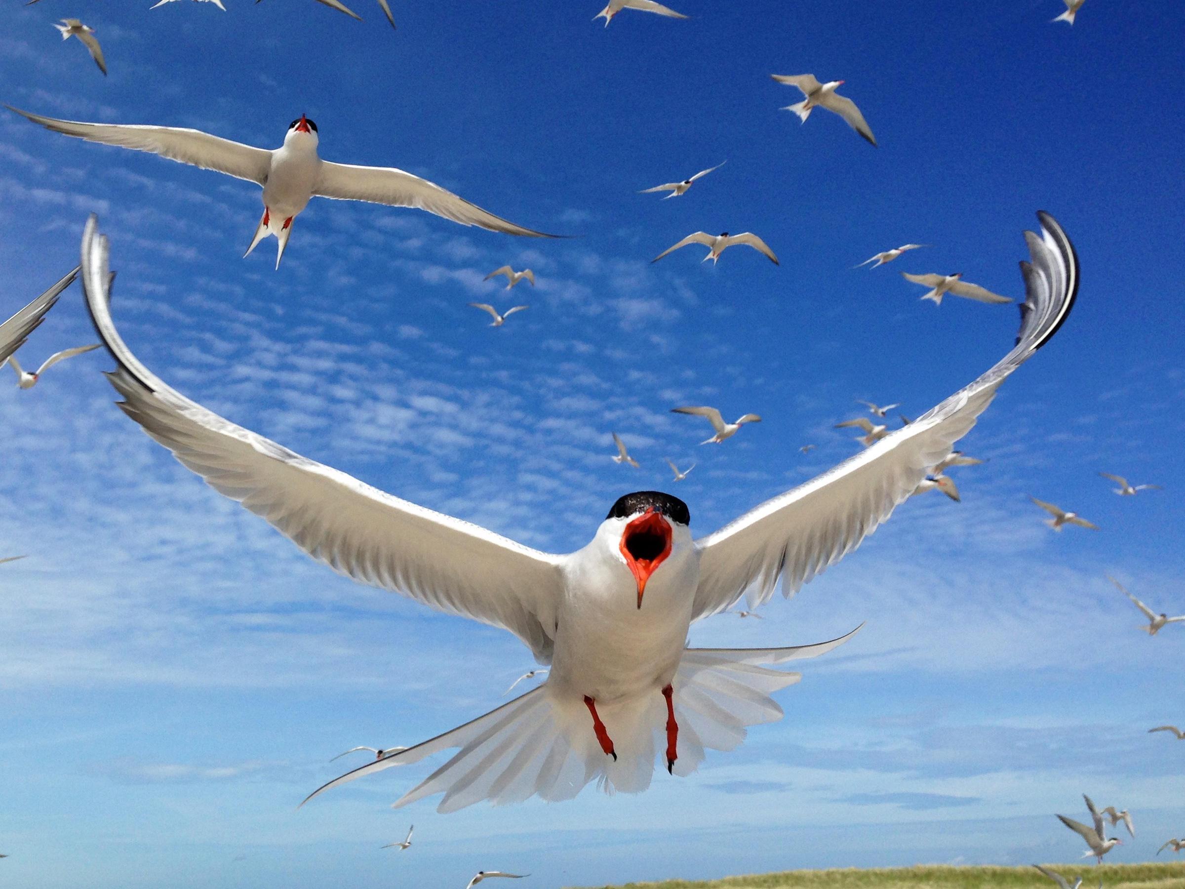 Common Terns, shot on an iPhone 5. Joseph Samela/Audubon Photography Awards