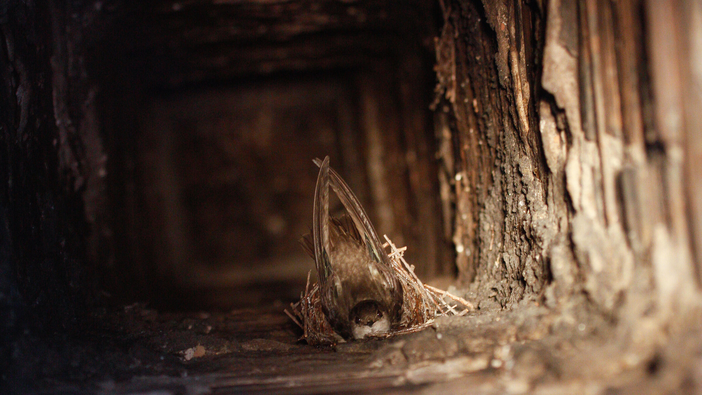 A Chimney Swift uses its saliva to stick its nest to the inside of a chimney. Bruce Di Labio