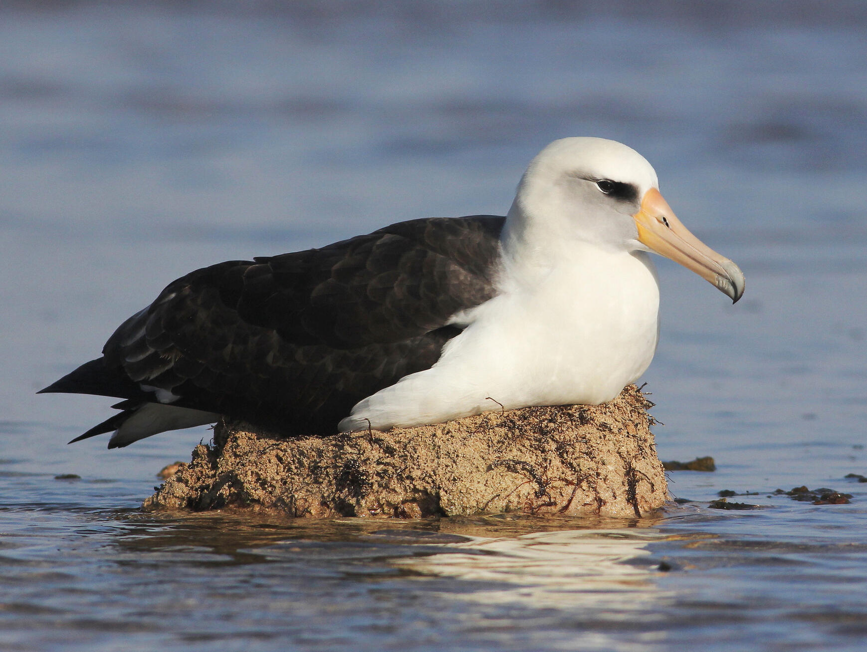 An incubating Laysan Albatross watches the lake level rise, near Papahānaumokuākea Marine National Monument, Hawaii. This nest flooded, and the egg was abandoned, days after the photo was taken in January 2012. Cameron L. Rutt