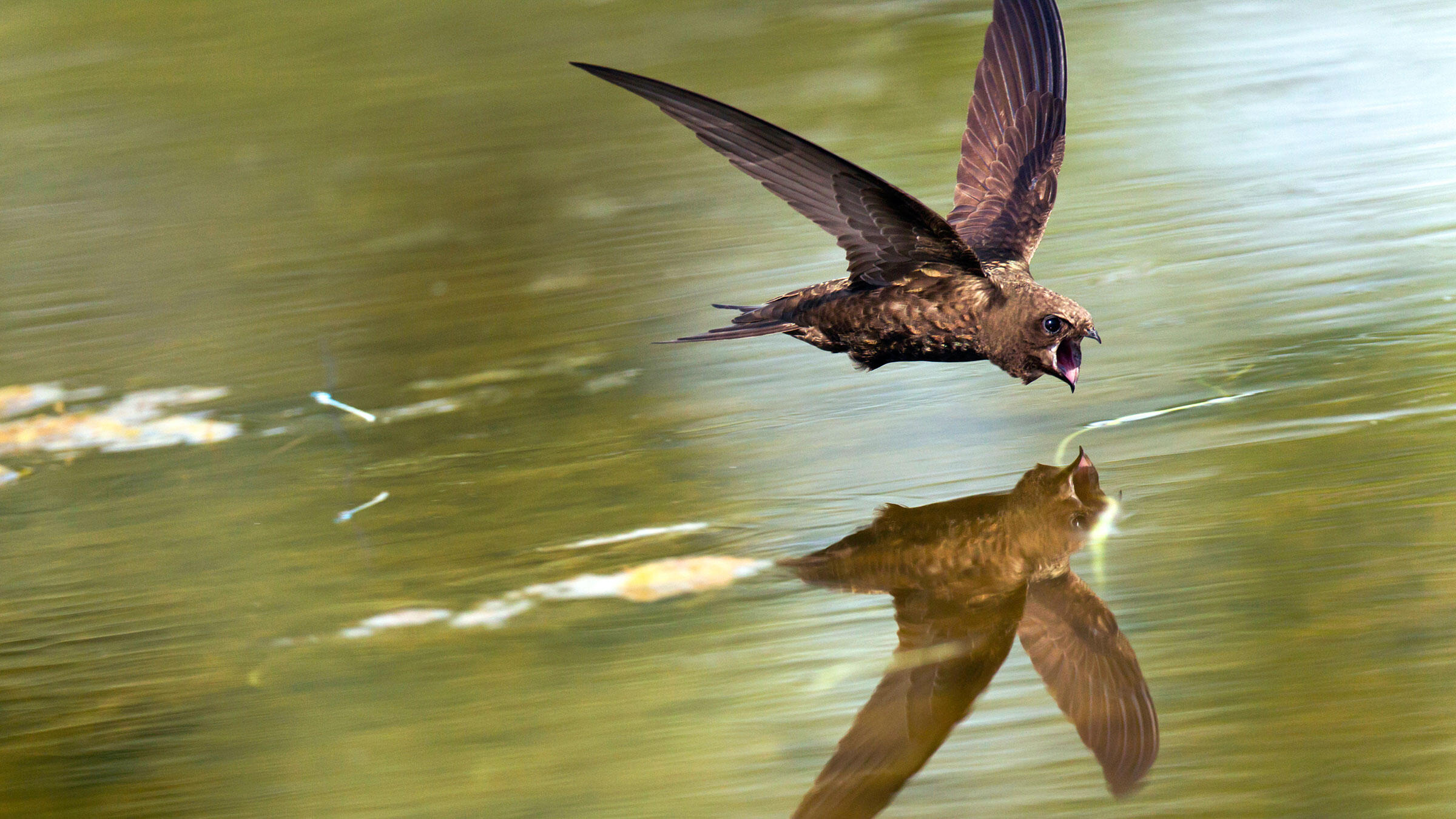 Common Swifts and other stout, fast-moving species prefer to hydrate as they're moving. Ran Schols/Minden