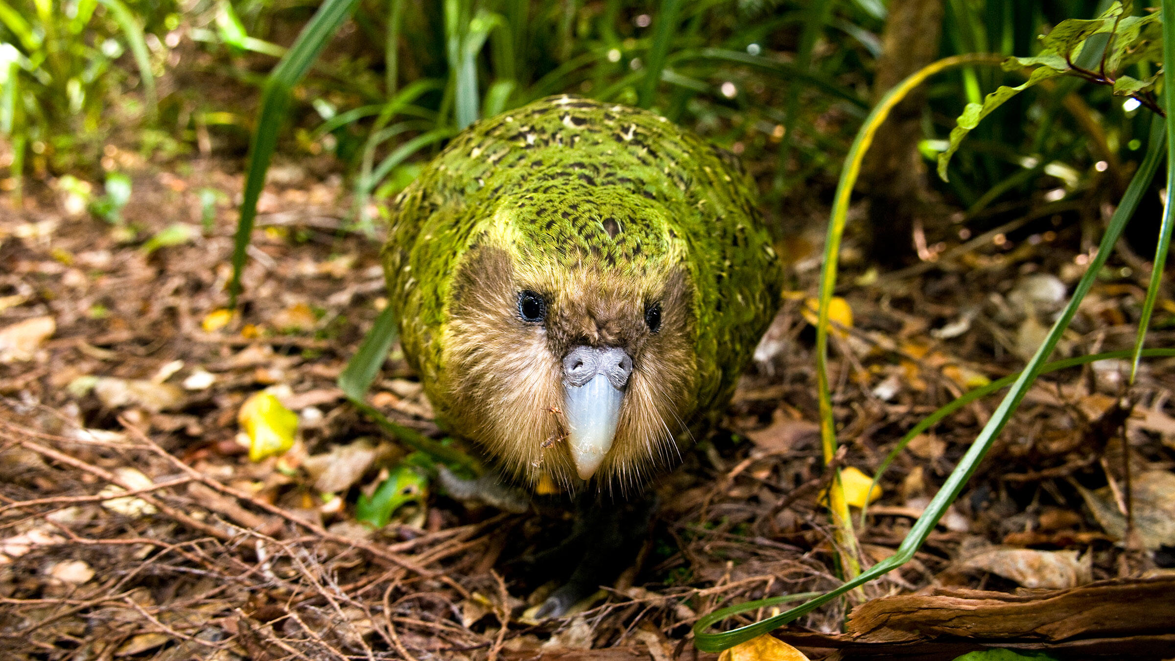 A Kakapo named Sirocco on Codfish Island in southern New Zealand. Mark Carwardine/NPL/Minden