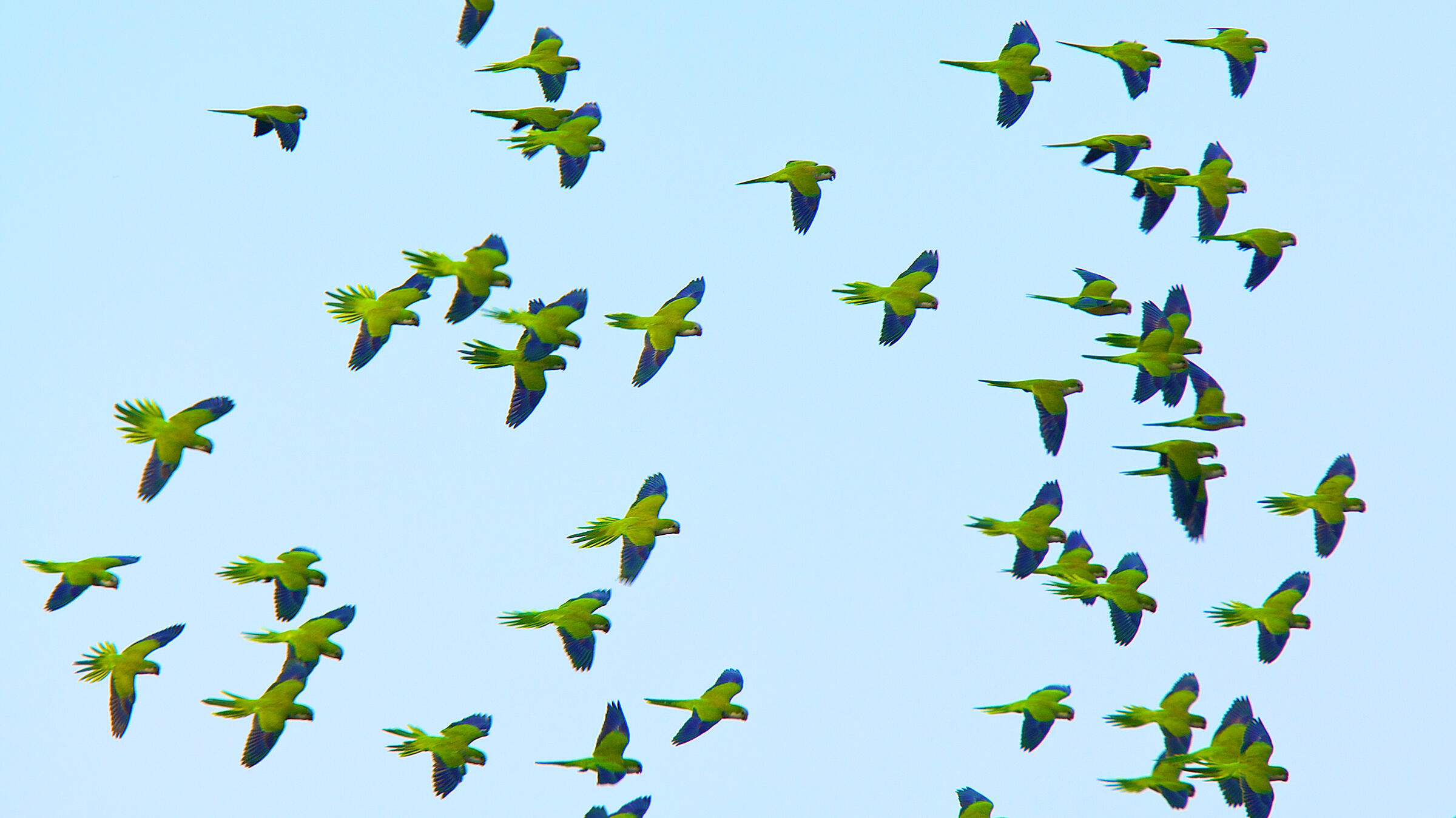 Monk Parakeets know their way around their flock by learning other birds' ranks. Steve Winter/National Geographic Creative
