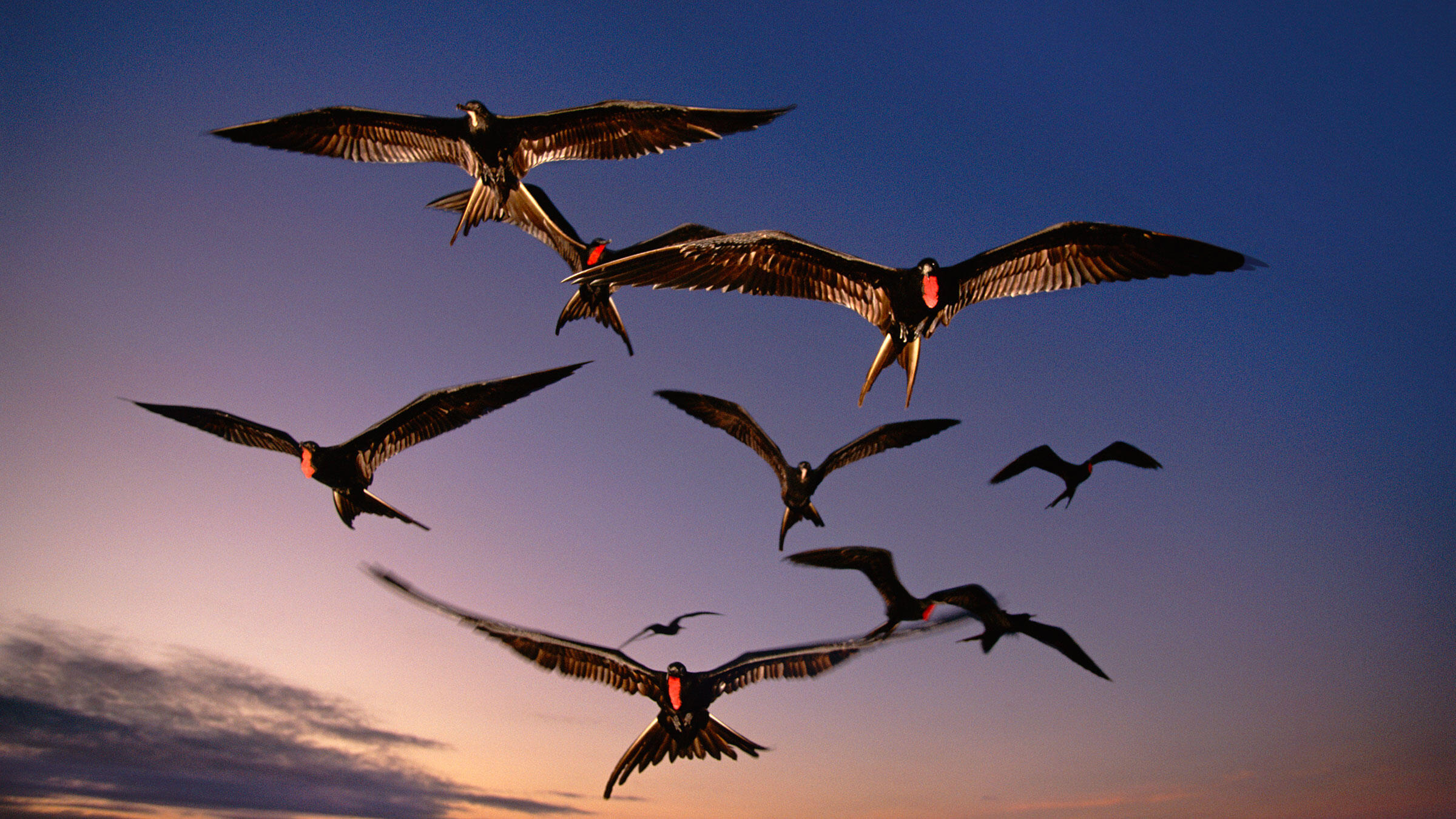 Frigatebirds in flight in the Galápagos Islands. Frans Lanting/National Geographic Creative