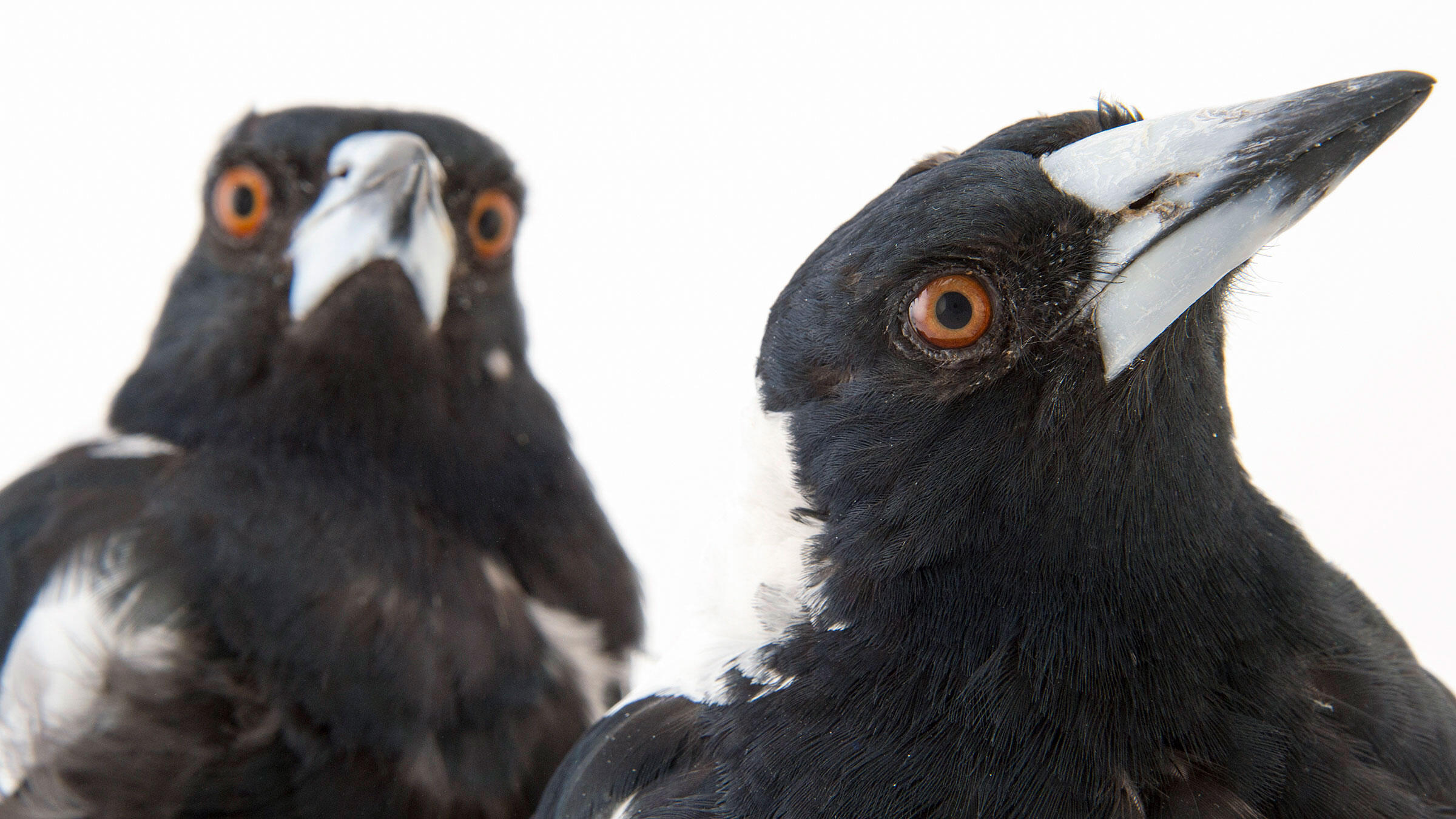 White-backed Magpies. The corvid family, to which magpies belong, is often regarded as one of the bird world's smartest. Joel Sartore/National Geographic Photo Ark/National Geographic Creative