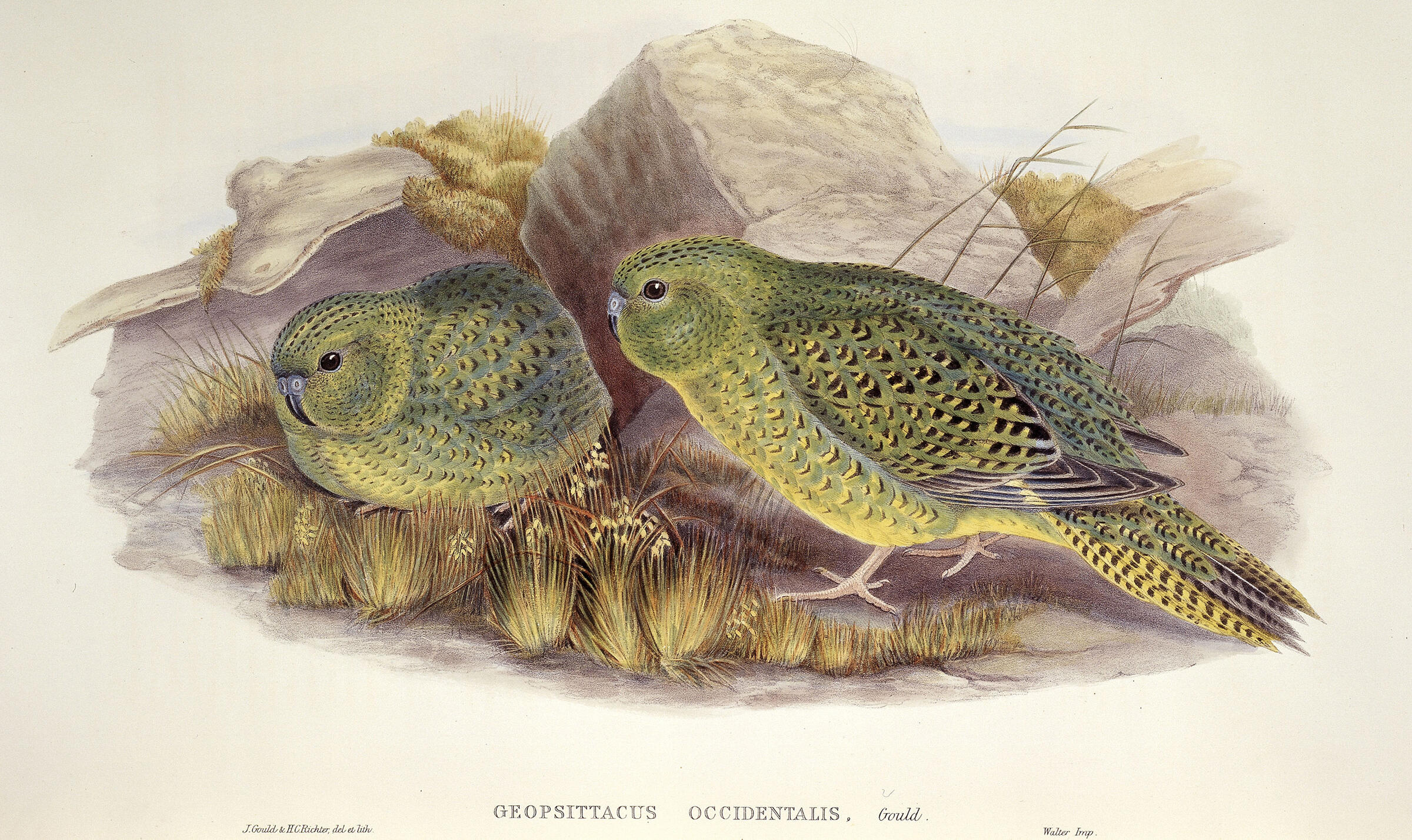 Night Parrots. Illustration: The Natural History Museum/Alamy